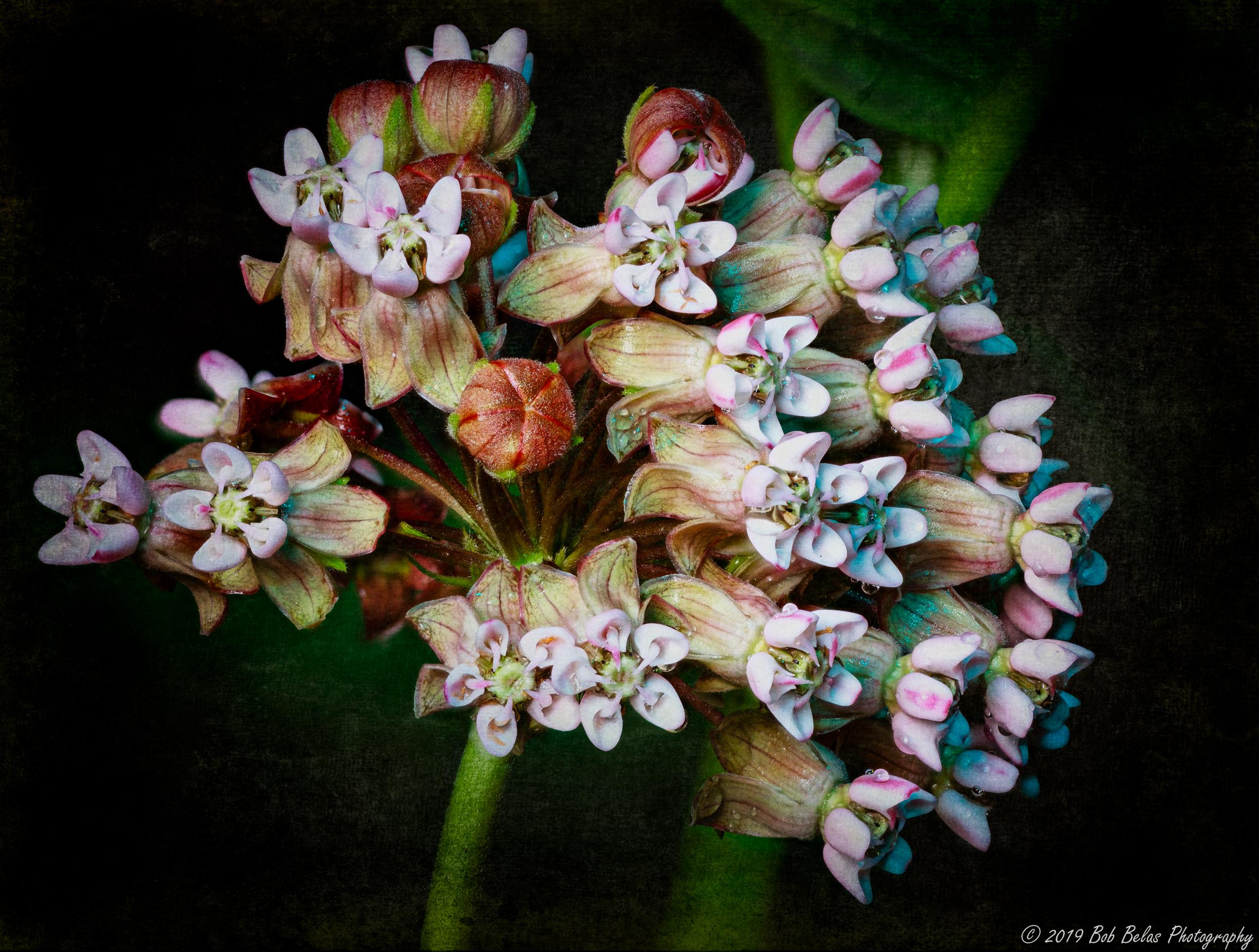 Milkweed Blooms, color