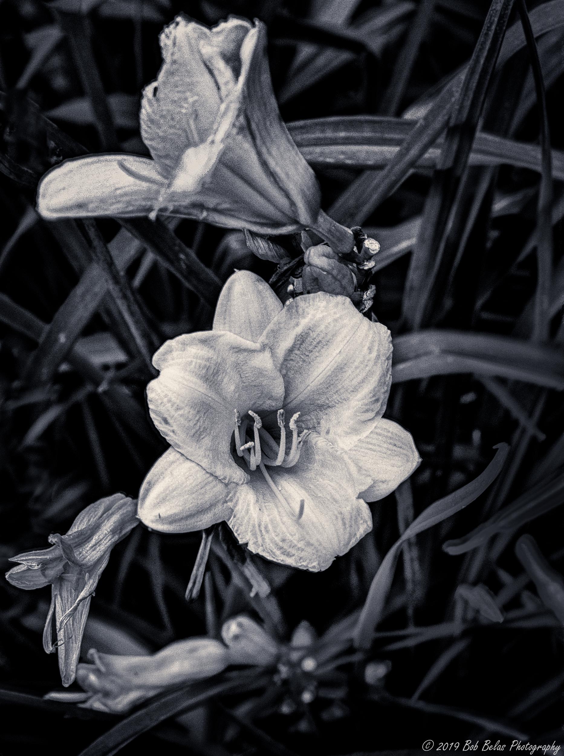Daylily, monochrome