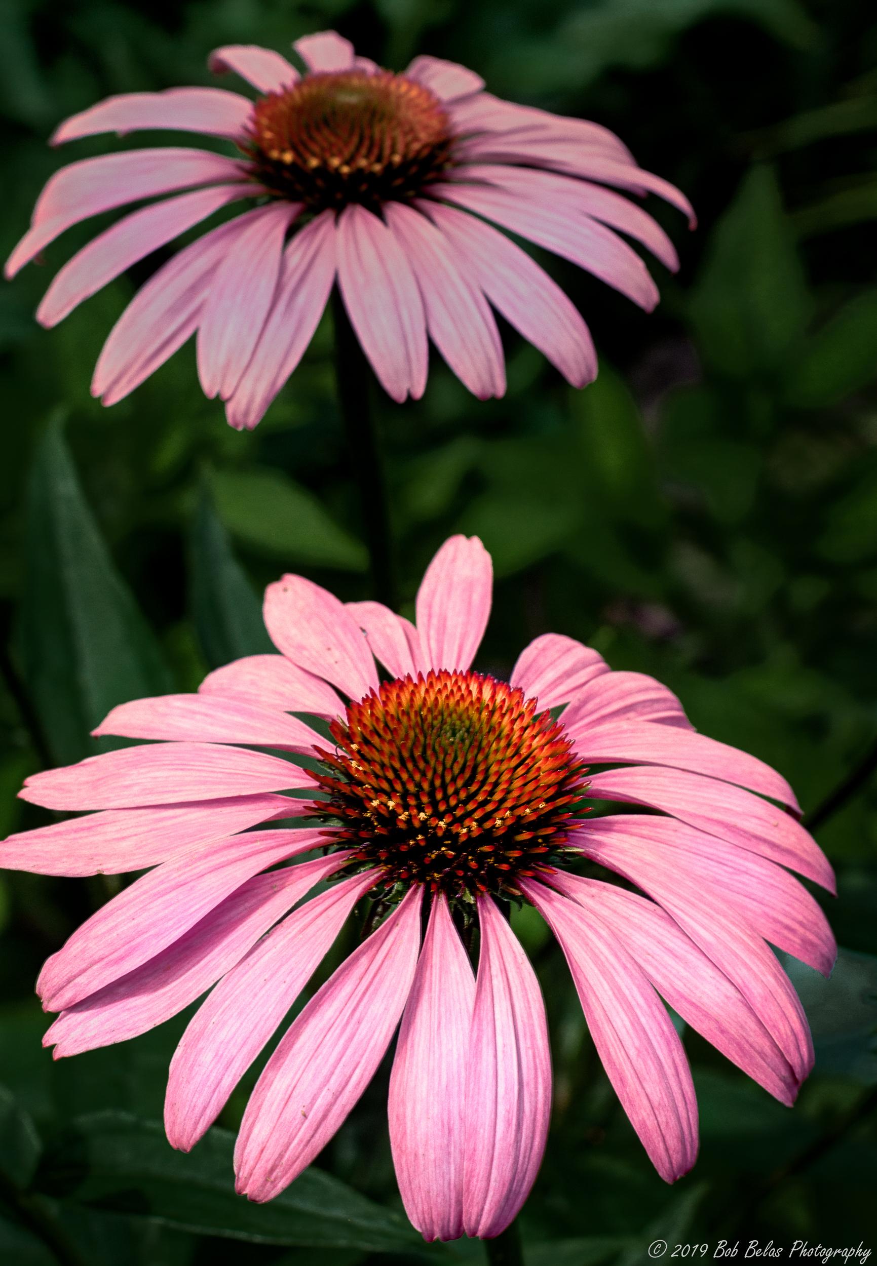 Morning Coneflowers Op1, color