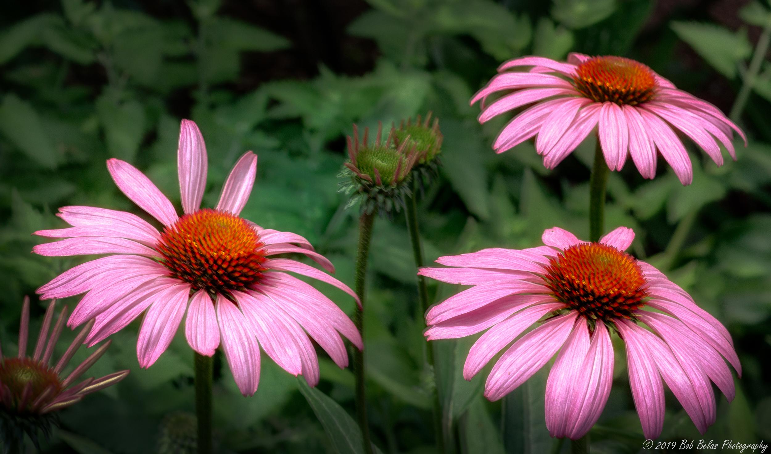 Morning coneflowers Op3, color
