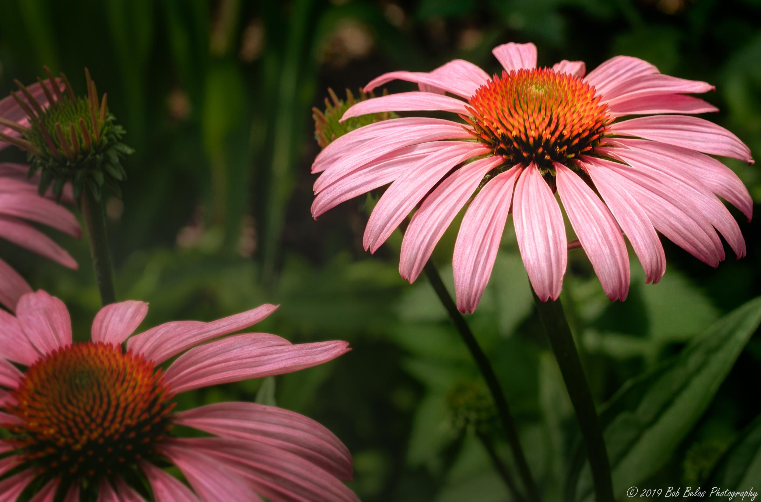 Morning coneflowers Op2, color