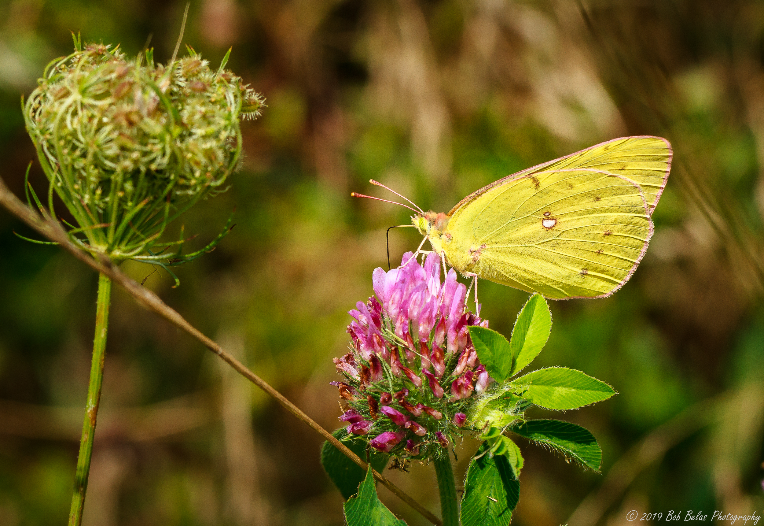 Pink-edged Sulphur Duo, color