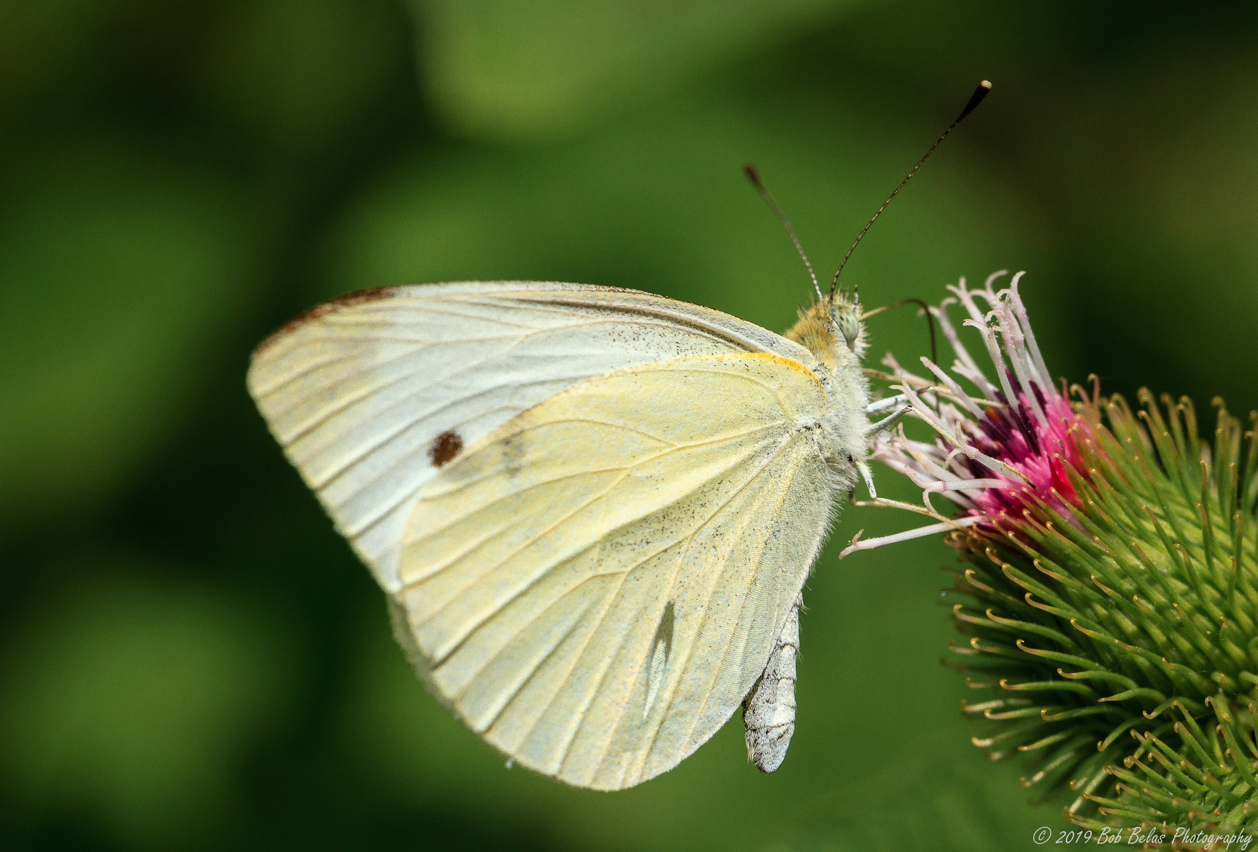 Cabbage White 1, color