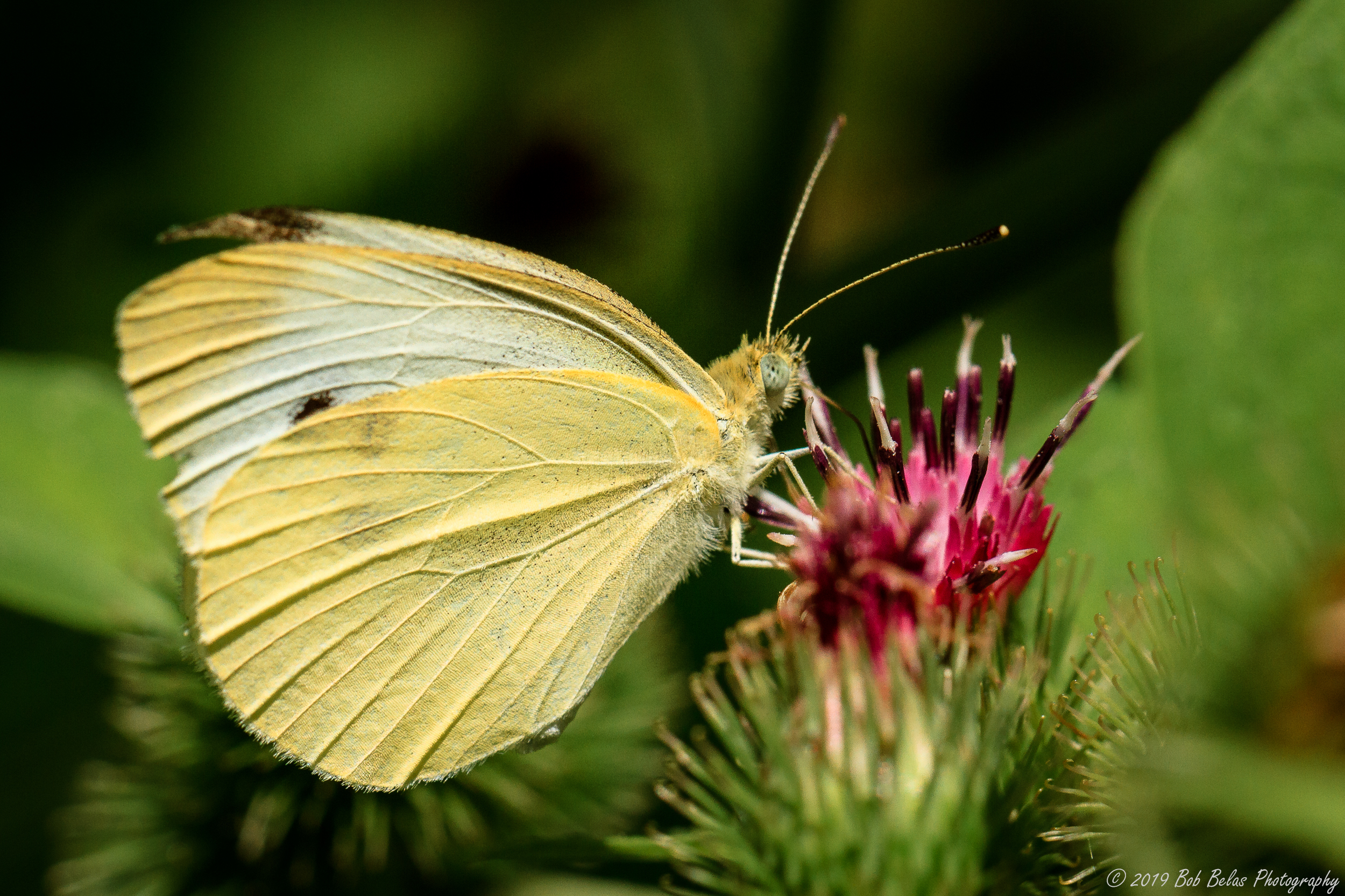 Cabbage White 2, color
