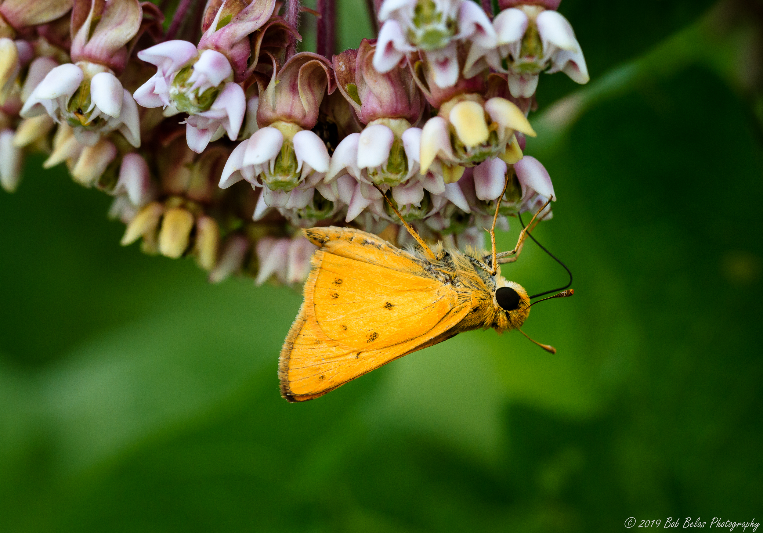 Whirlabout Skipper, color