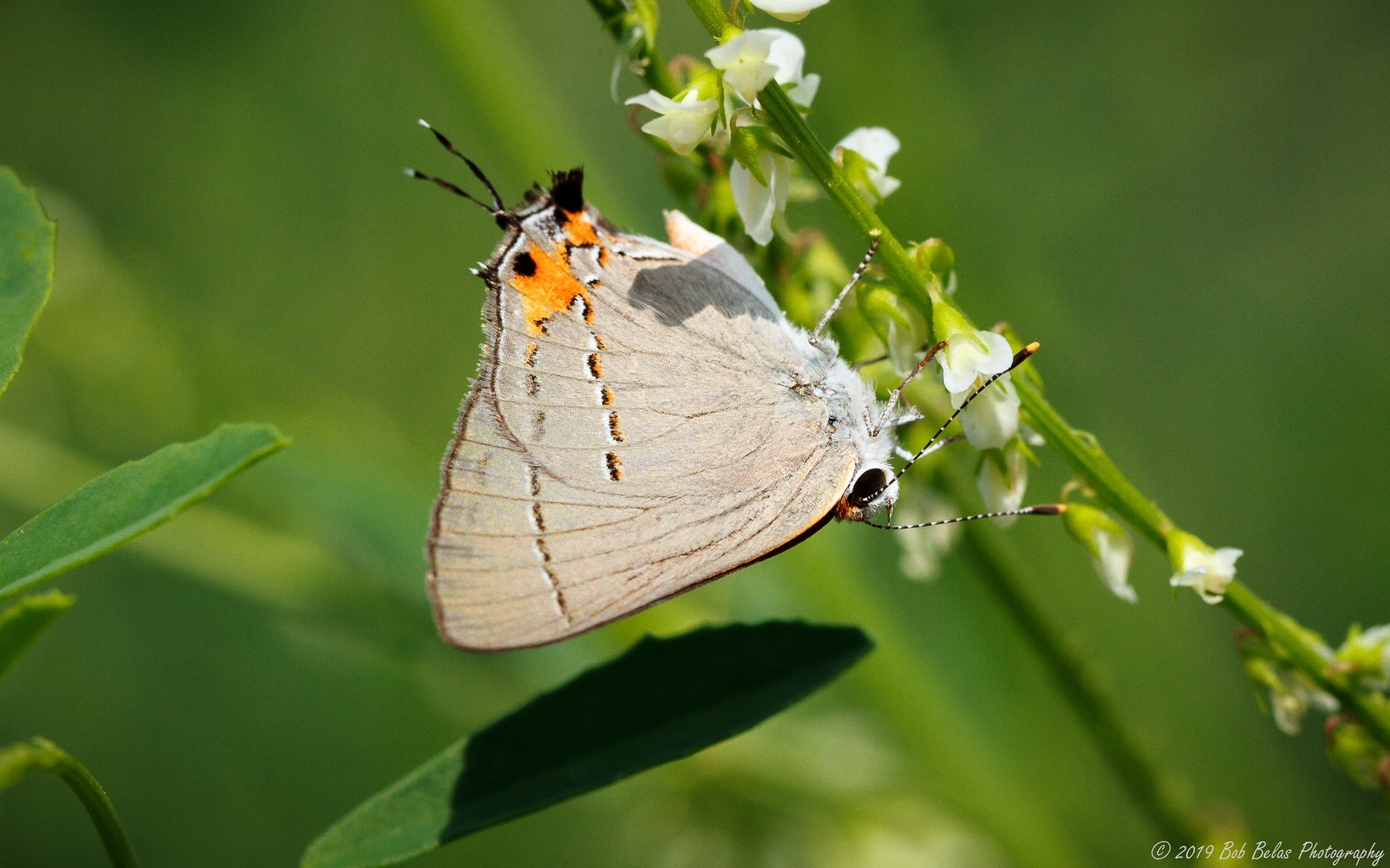 Gray Hairstreak, color
