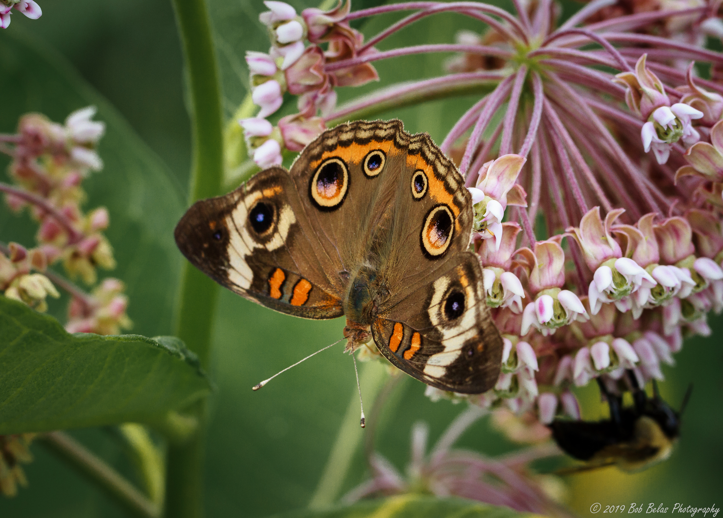 Common Buckeye, color