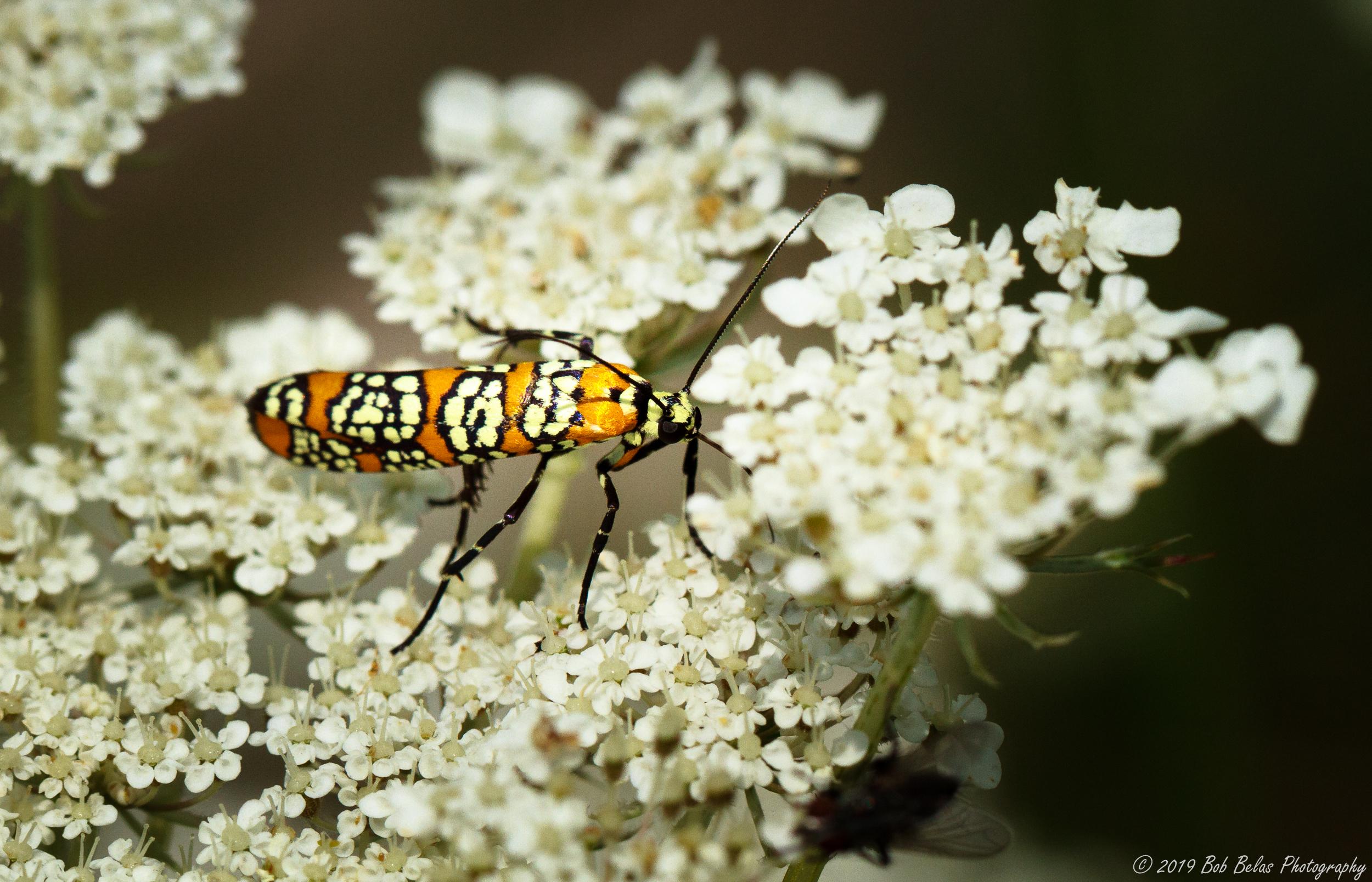 Ailanthus Webworm Moth 1, color