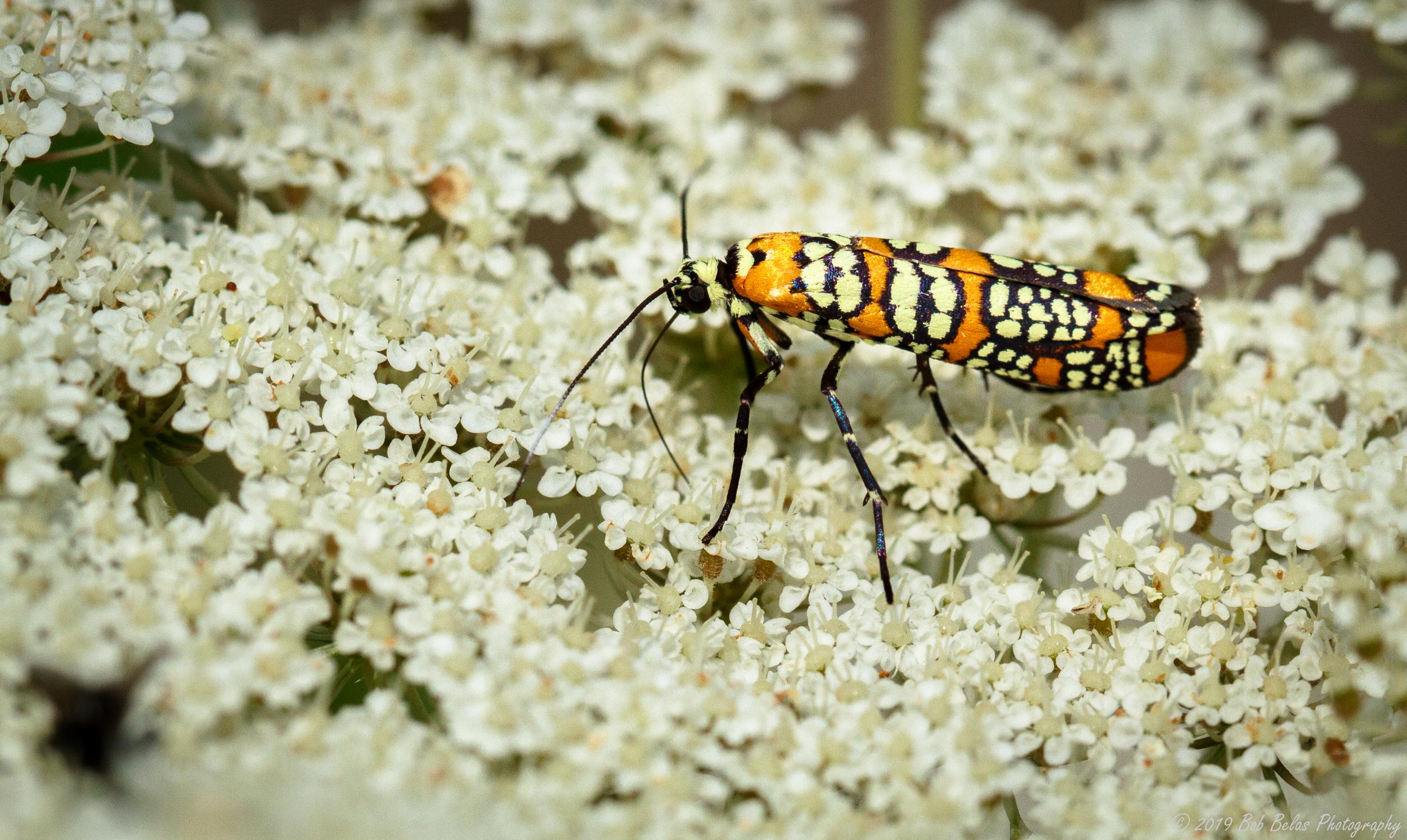 Ailanthus Webworm Moth 3, color