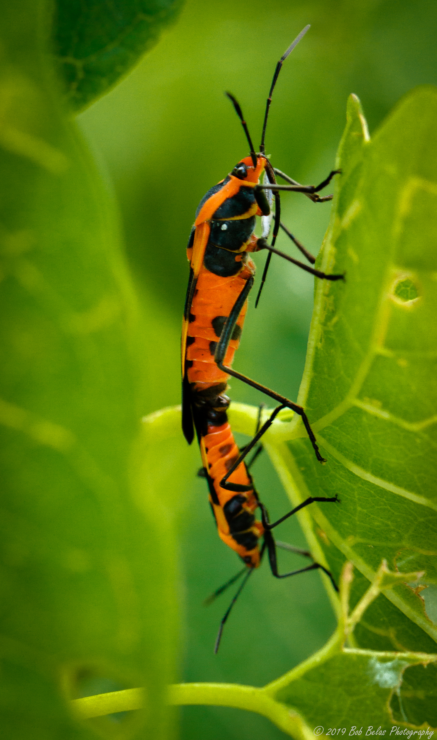 Milkweed Bugs, color