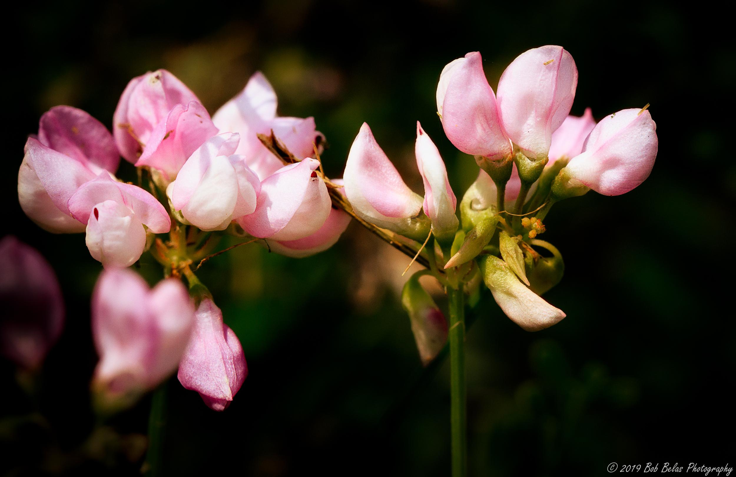 Cowpea flowers, color
