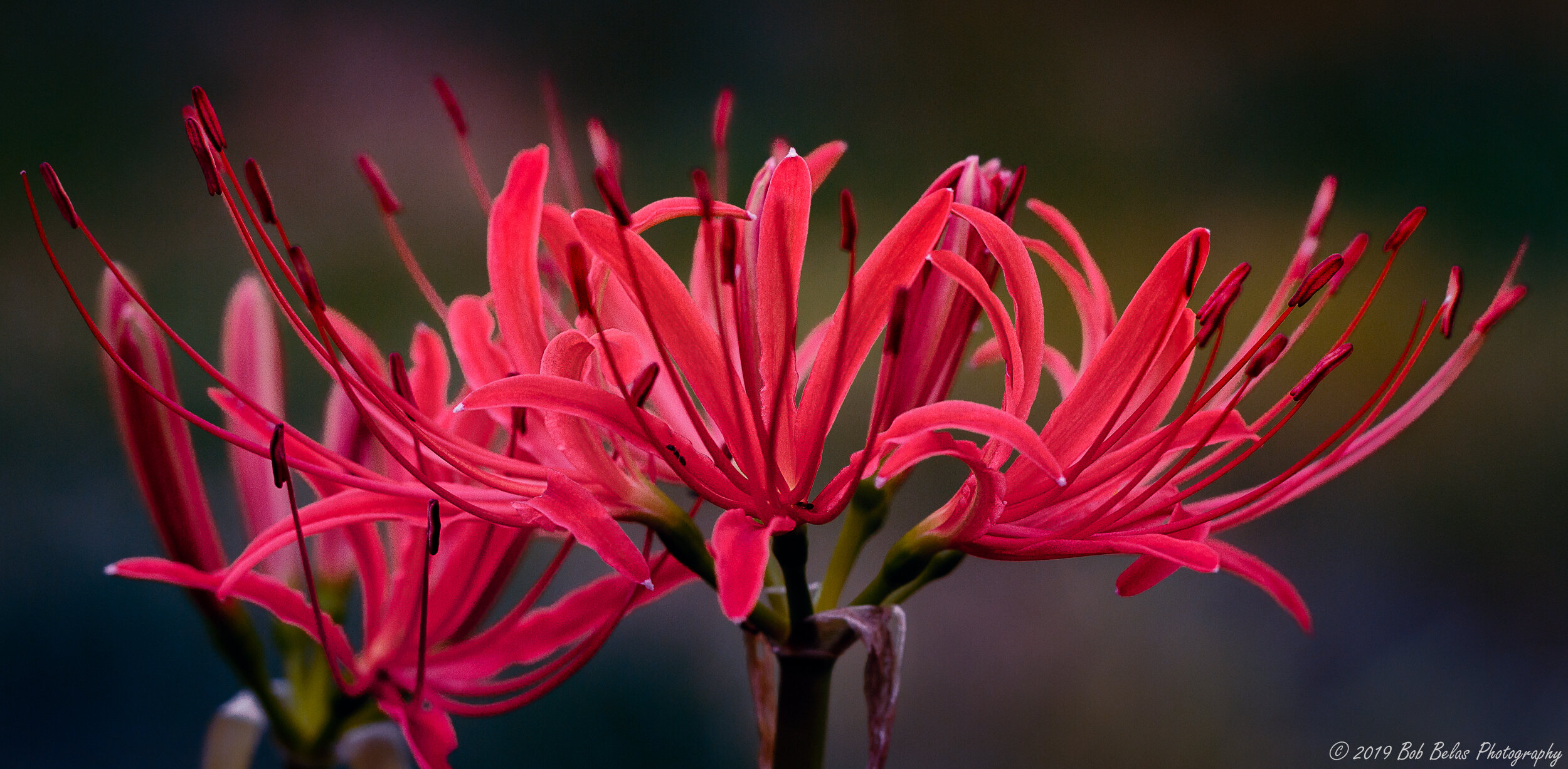 Spider Lilies 1, color