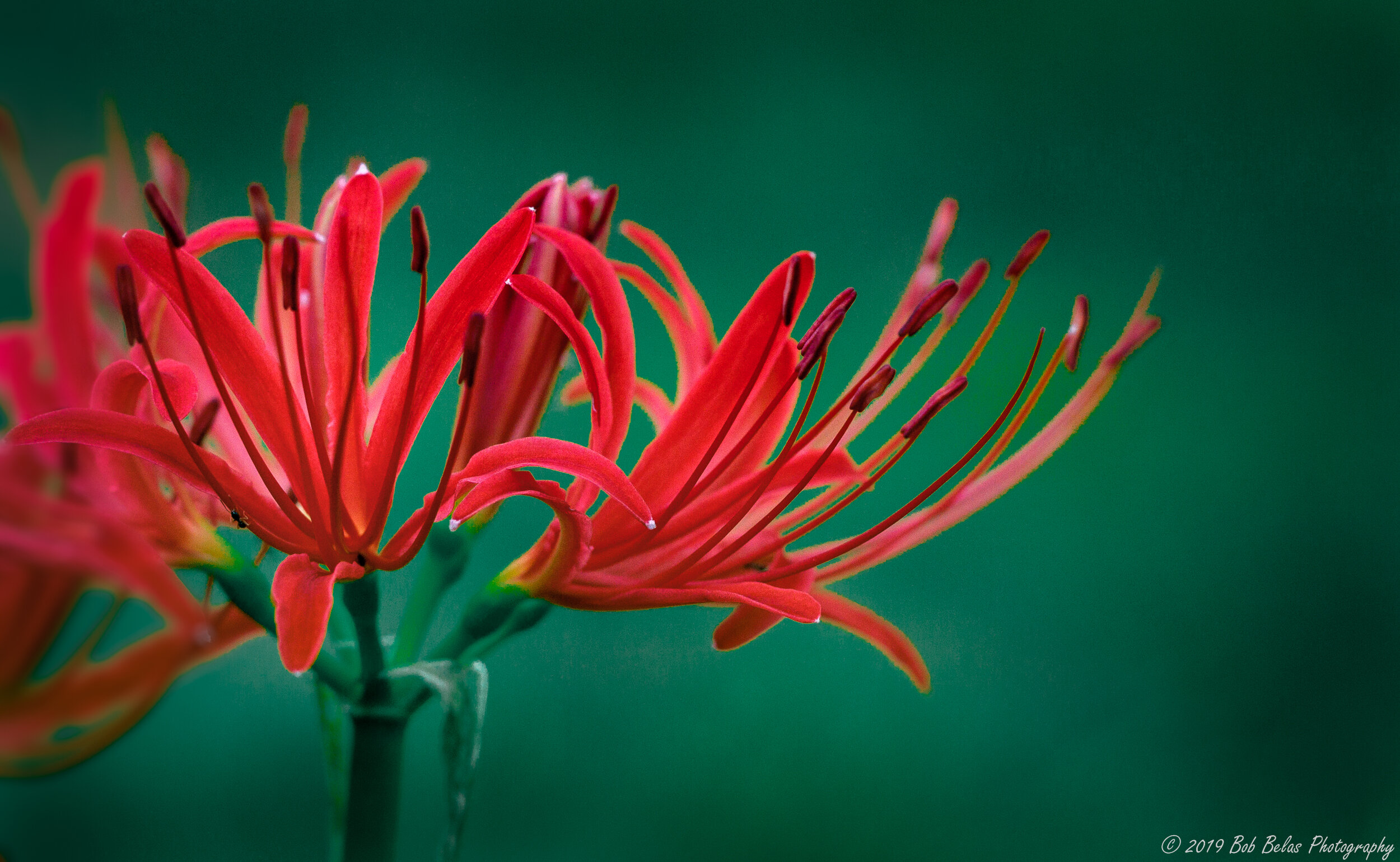 Spider Lilies 2, color