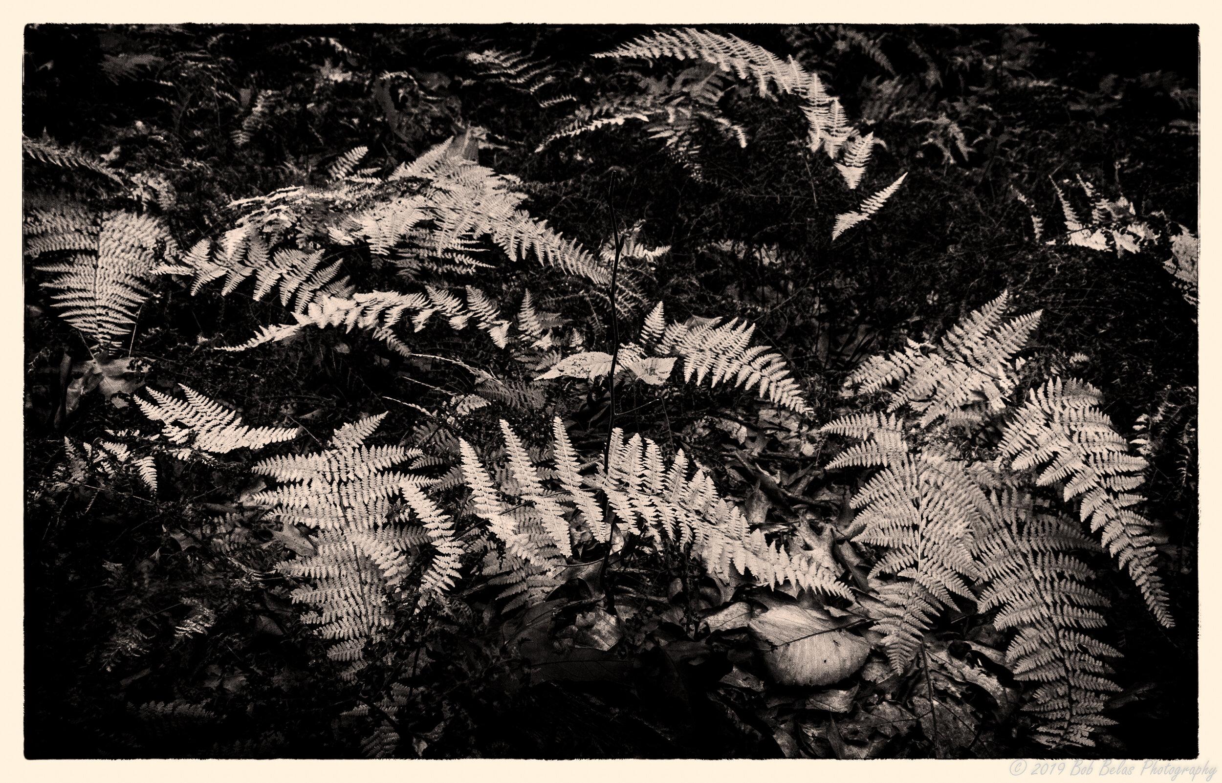 Ferns at dusk 1, monochrome