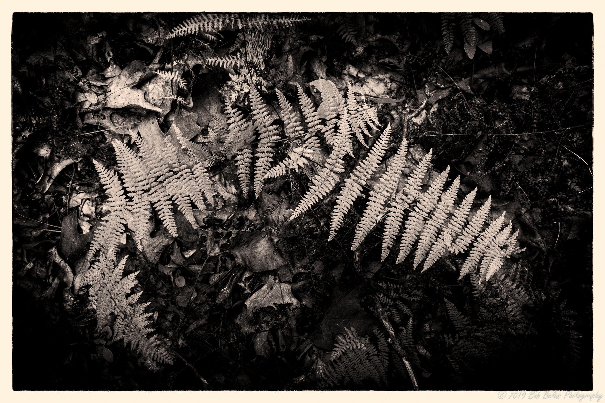 Ferns at dusk 2, monochrome