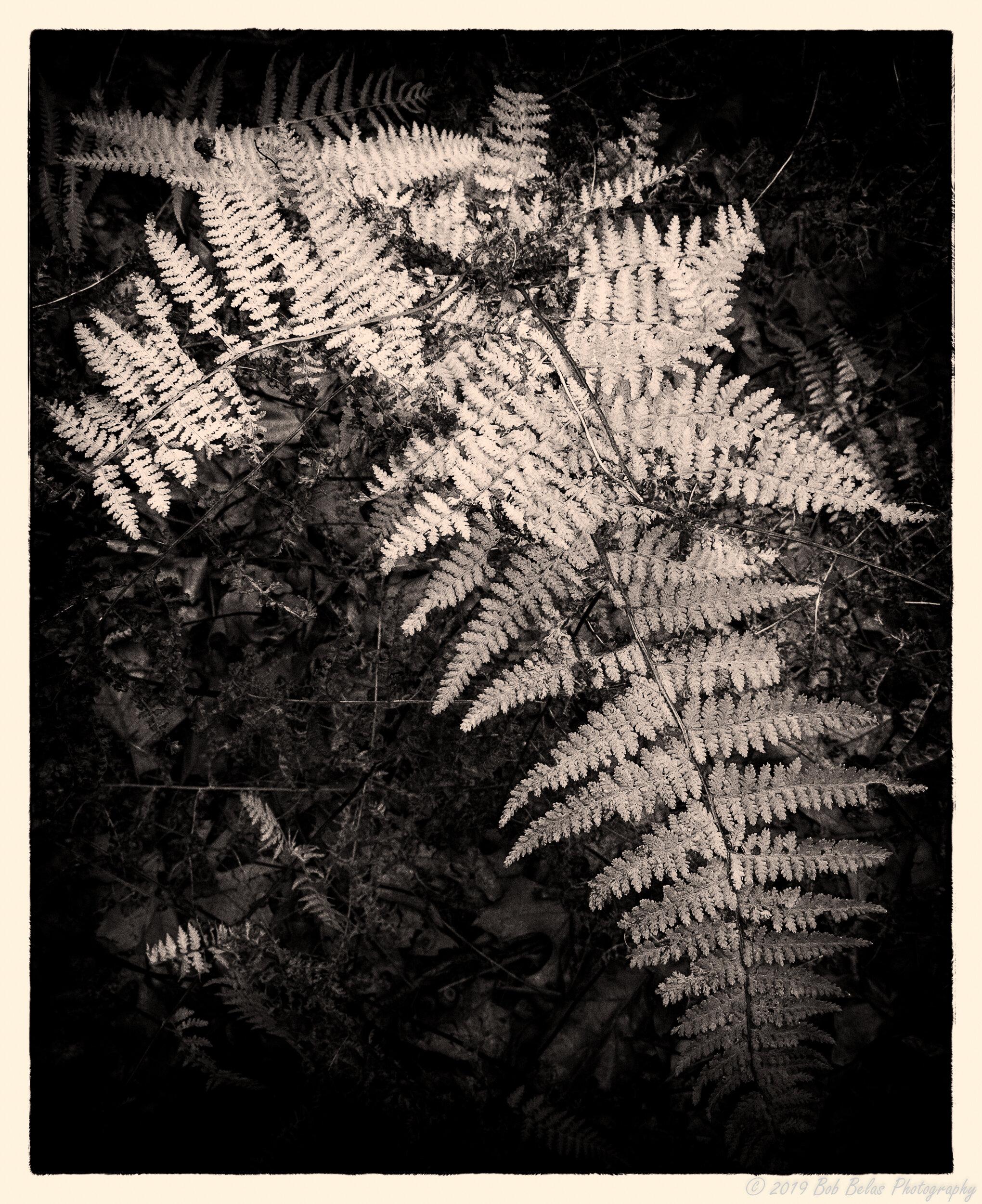 Ferns at dusk 4, monochrome