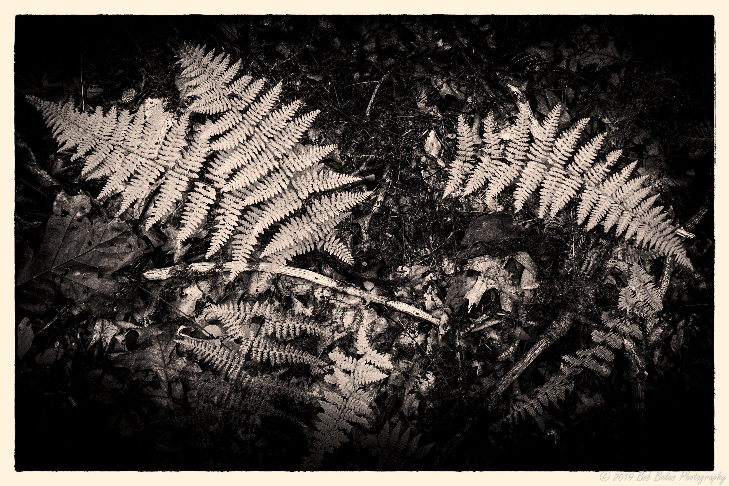 Ferns at dusk 3, monochrome
