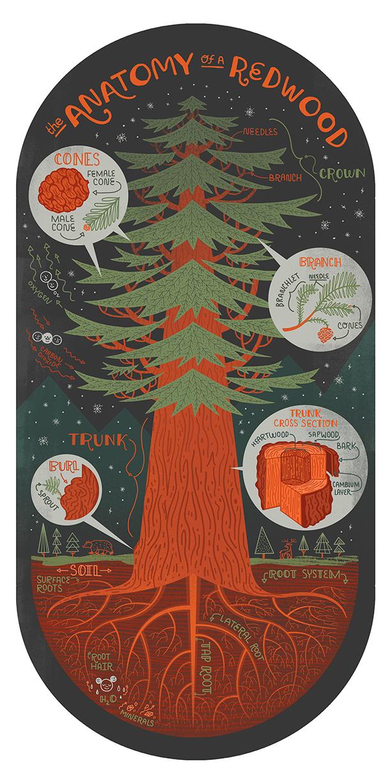 redwood tree.jpg