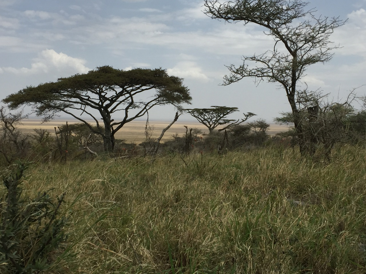 The acacia is the iconic tree throughout Tanzanian savannah landscape. It's a major food source for elephants and giraffes.