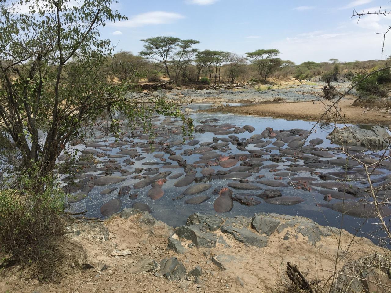 Hippos wallowing in a lagoon near the Tanangire National Park, Tanzania.