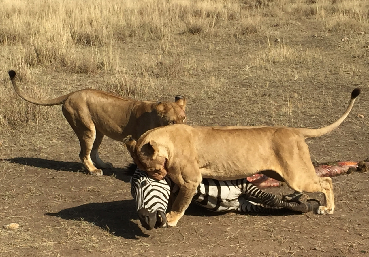 Two lionesses drag a zebra carcass they have just killed toward a shady spot, as vultures descend.