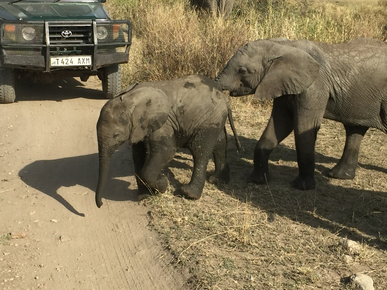 Two elephant calves cross the road in front of a stopped safari vehicle.