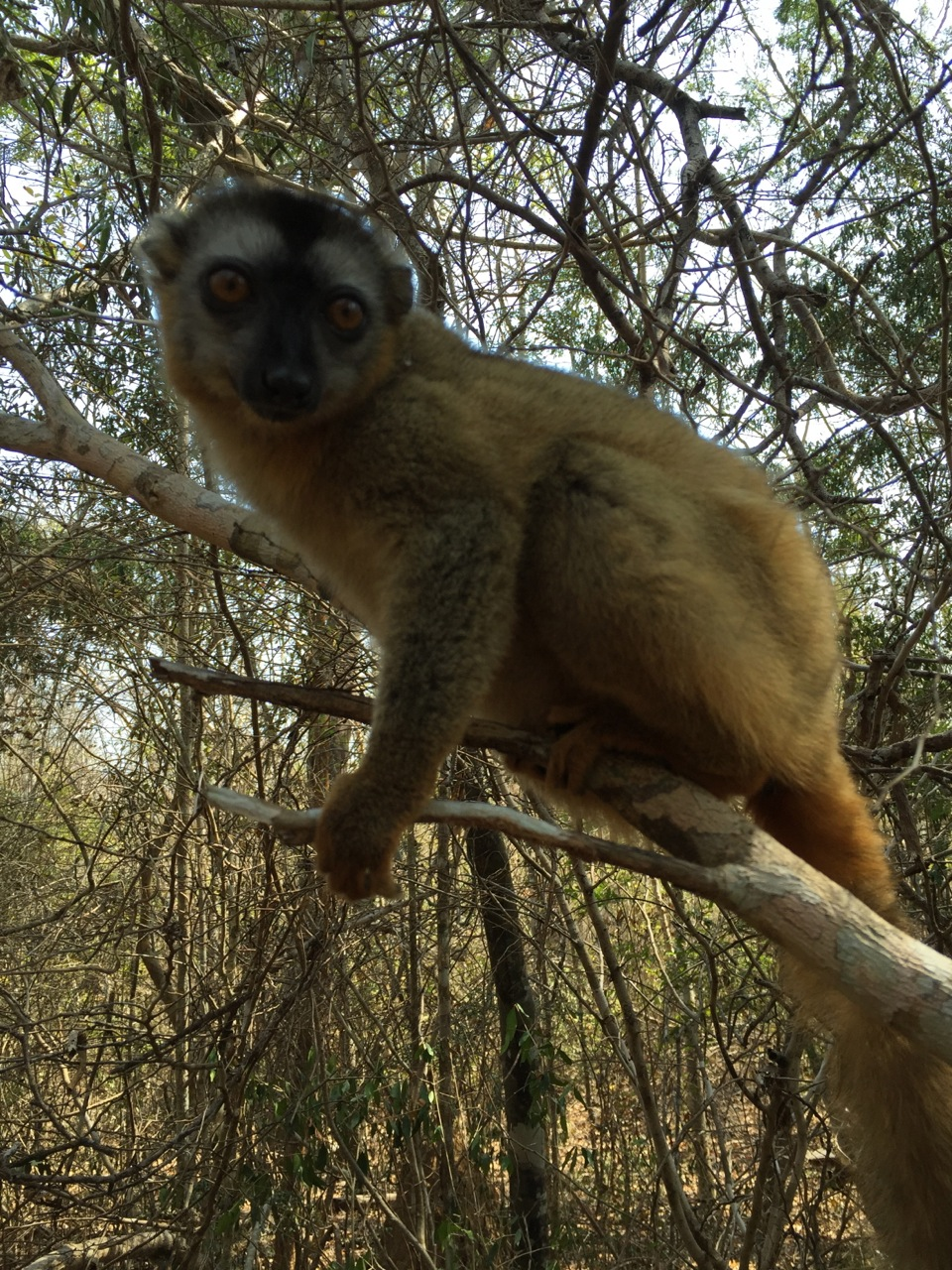 Brown lemur in the Kirindy Forest Reserve.