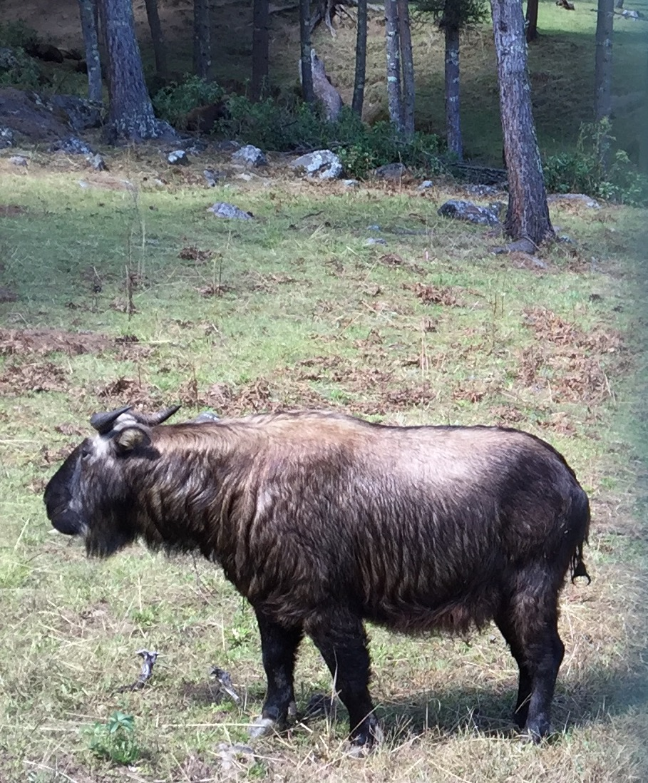 The takin, official national animal of Bhutan is protected in reserves. The animal resembles a cross between a goat and a moose.