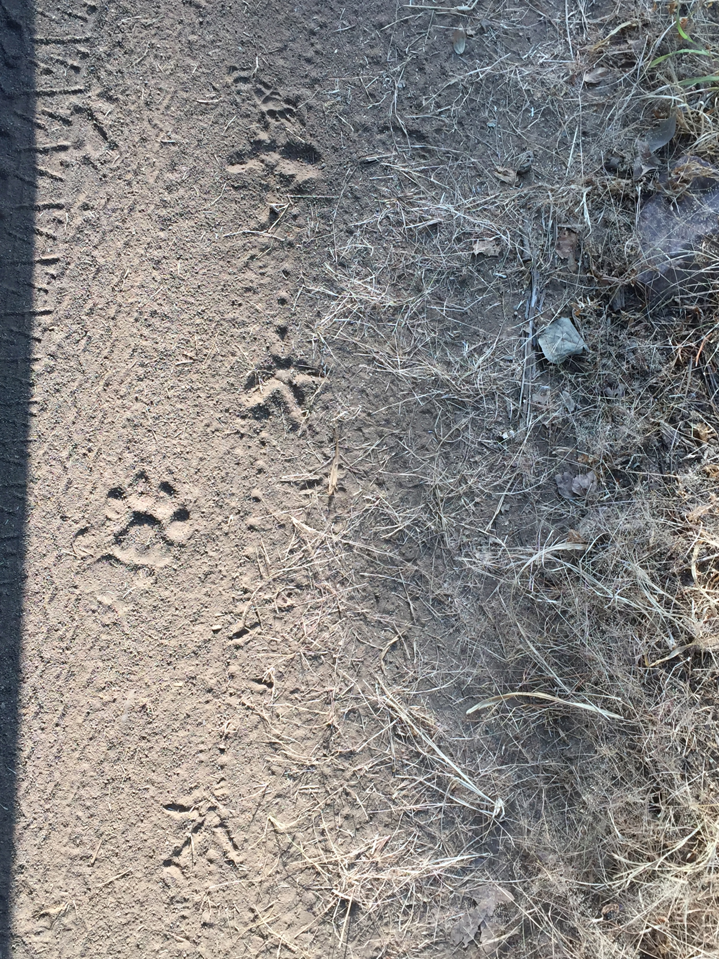 After about an hour in the park, our guide spotted fresh tiger tracks on the road.