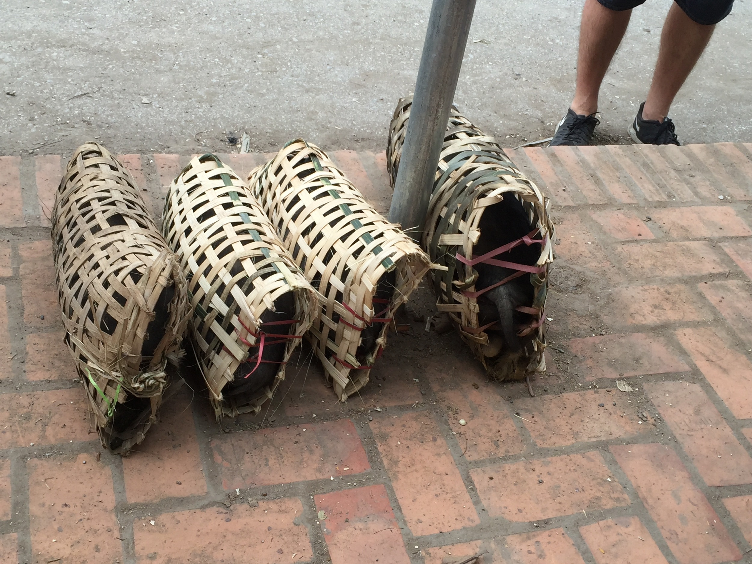 Live piglets confined to woven baskets are waiting at the public bus stop, where they will be picked up and delivered to local restaurants for slaughter.