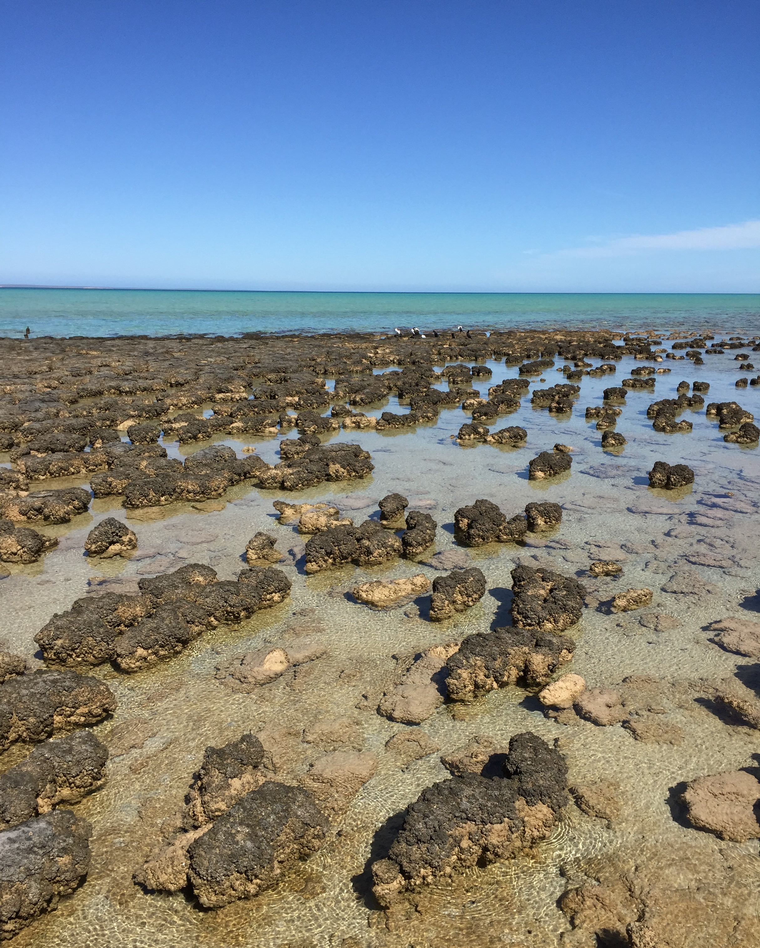 Stromatolites at Hamelin Pool Conservation Center near Shark Bay in Western Australia. These ancient structures still survive here only because of the extremely salty conditions of the bay.