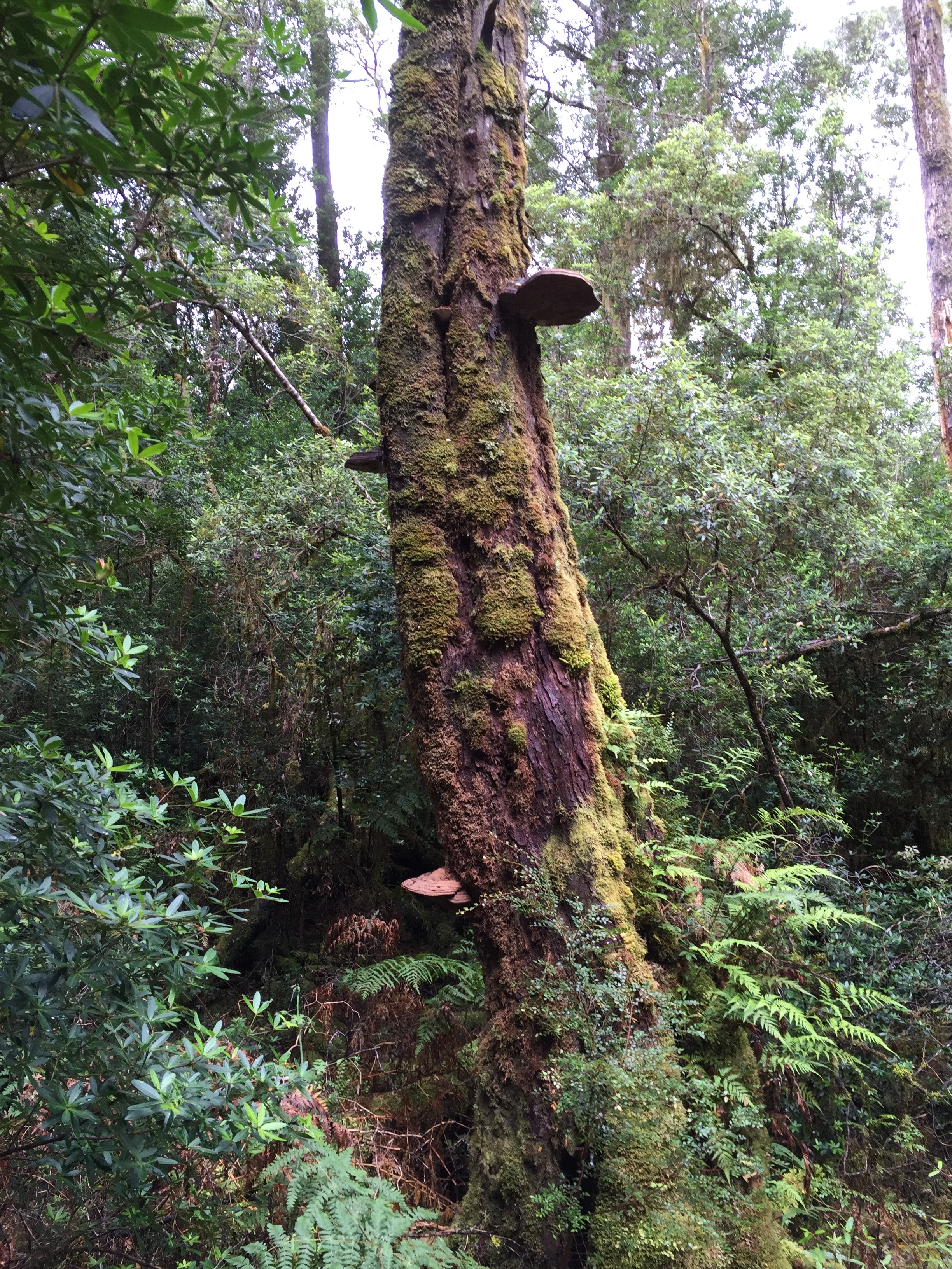 The old-growth Huon forest is mostly gone now, but it is recovering slowly.