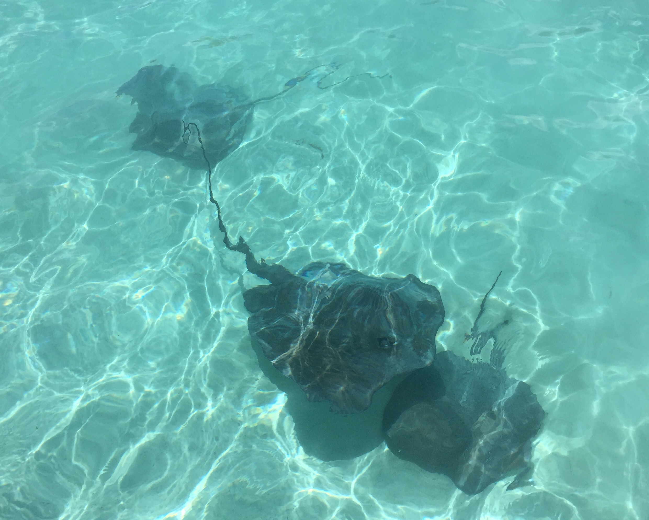 Four-foot diameter sting rays lying some five feet below the surface of the water. They were very friendly!