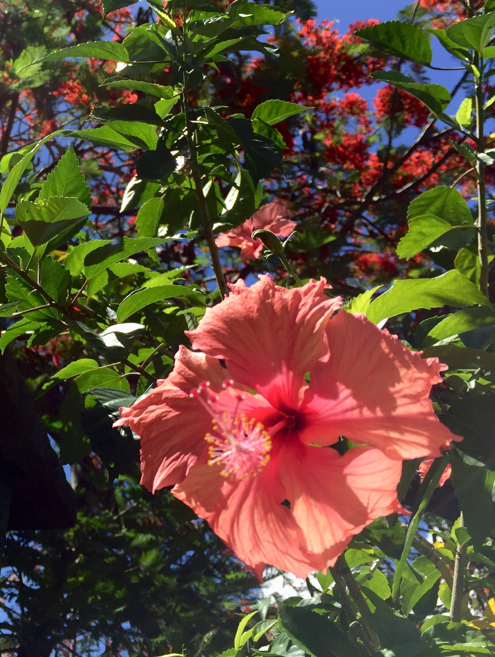 HIbiscus flowers are always in bloom in Moorea, and I would often pluck one to wear in my hair, as is the custom here.