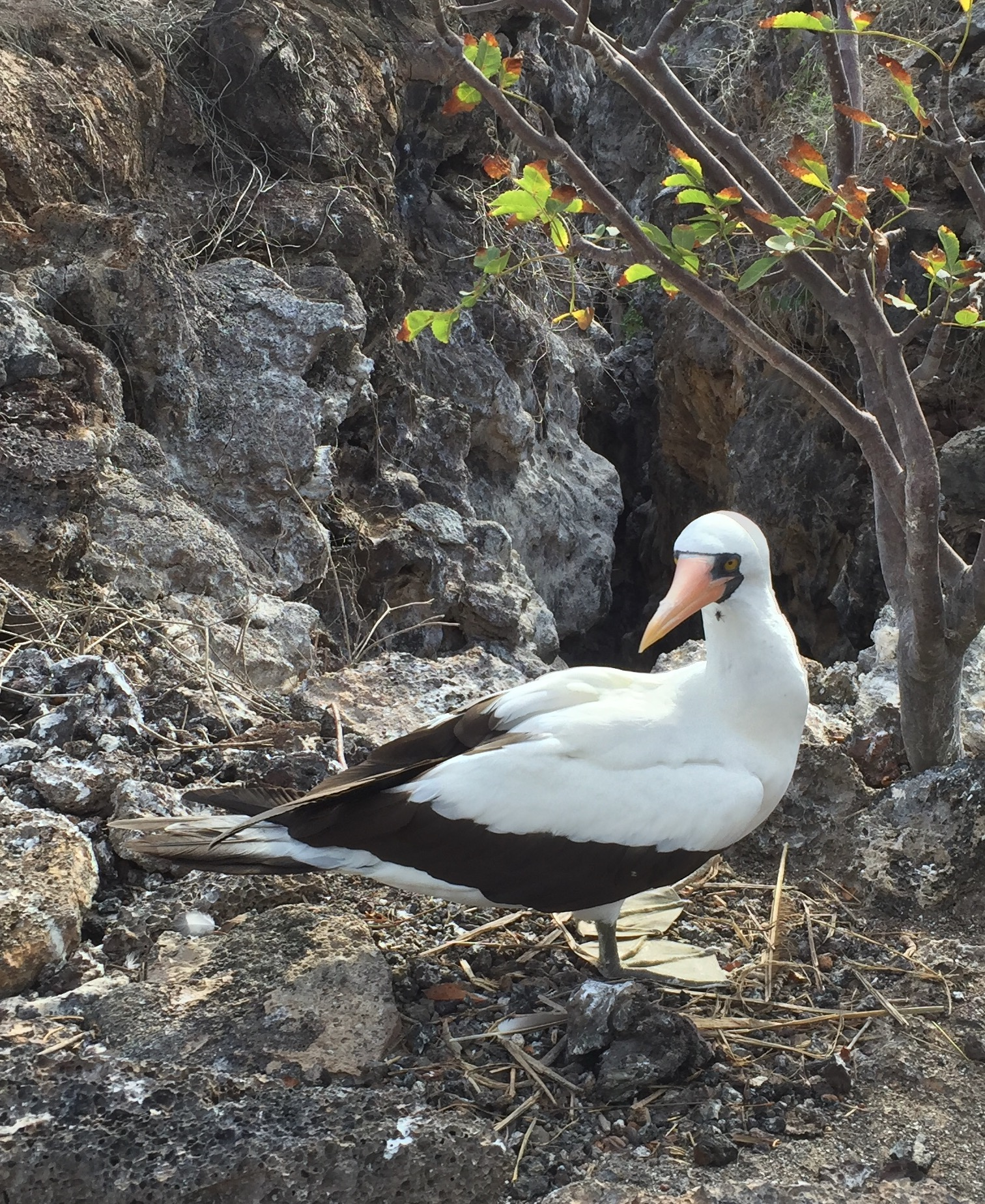 The Nazca boobie, pictured above, allowed people to come very close . . . they, like most birds in the Galapagos, seem to have little fear of humans.