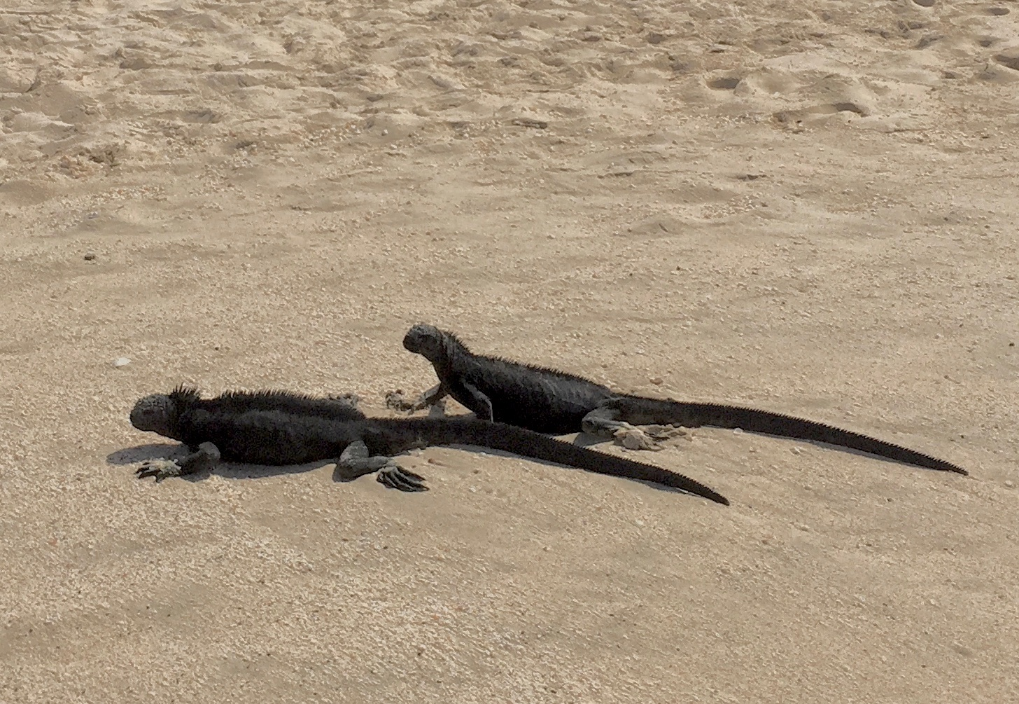 Marine iguanas are a common site on the Galapagos Islands, including here on the north coast of Santa Cruz Island.
