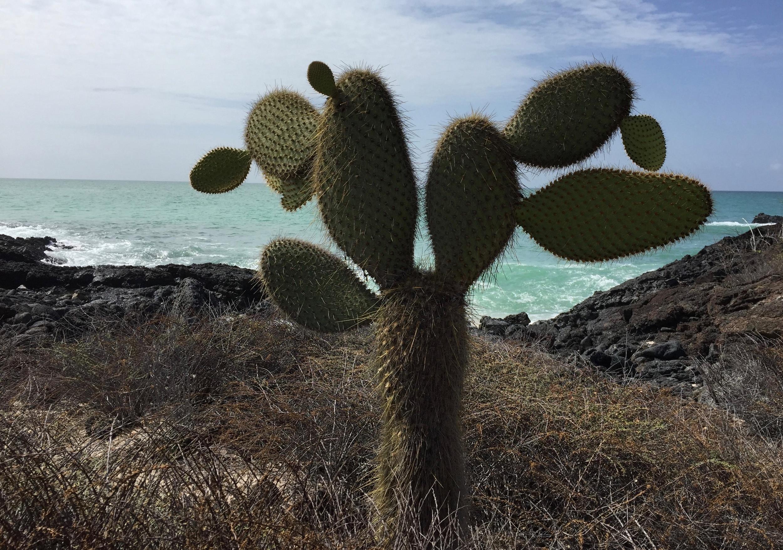 Prickly pear cacti on Santa Cruz Island are reminiscent of Baja California.