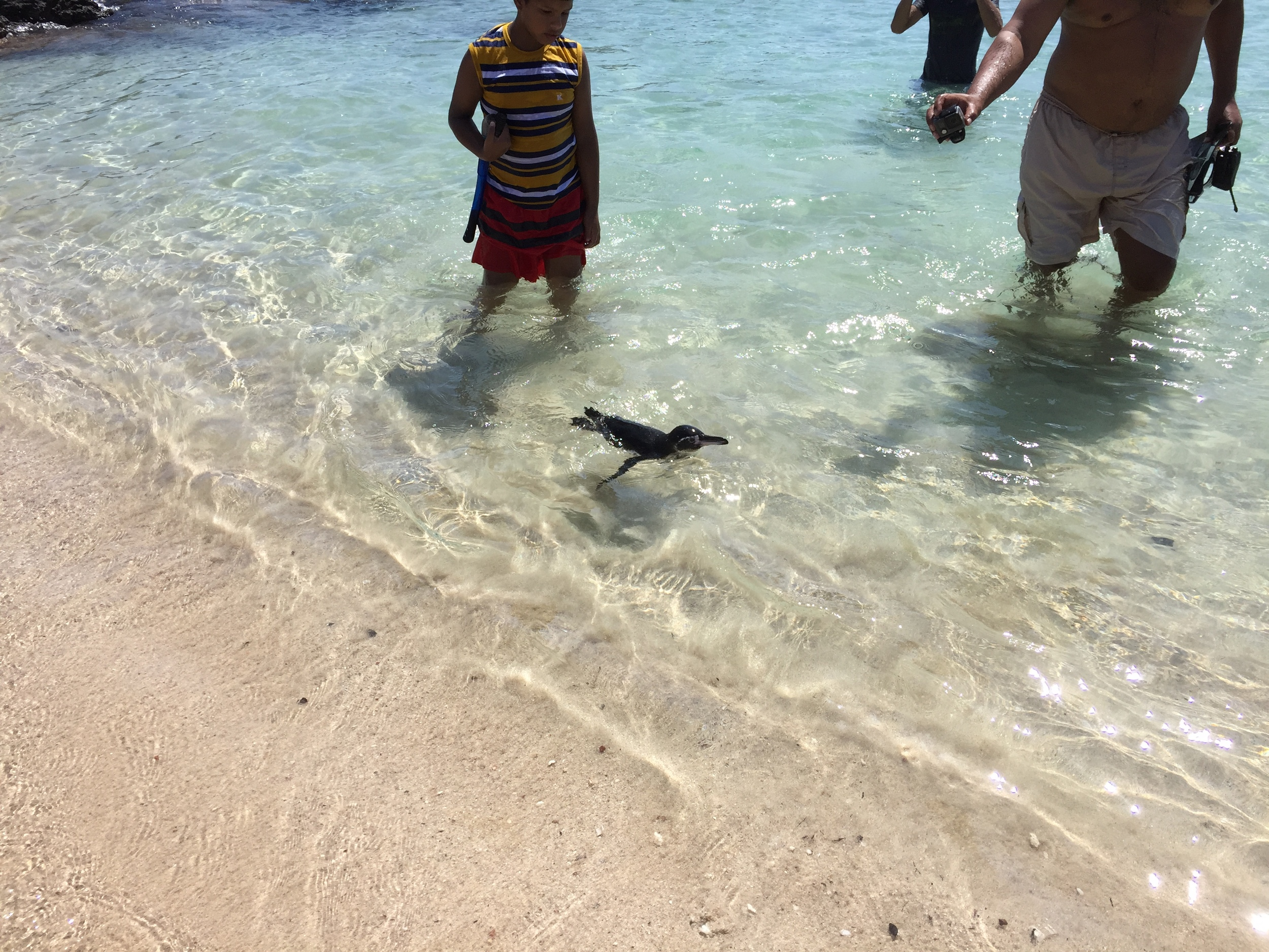 Before he swam ashore, I swam alongside this little penguin as we were snorkeling on Santiago Island in the Galapagos.