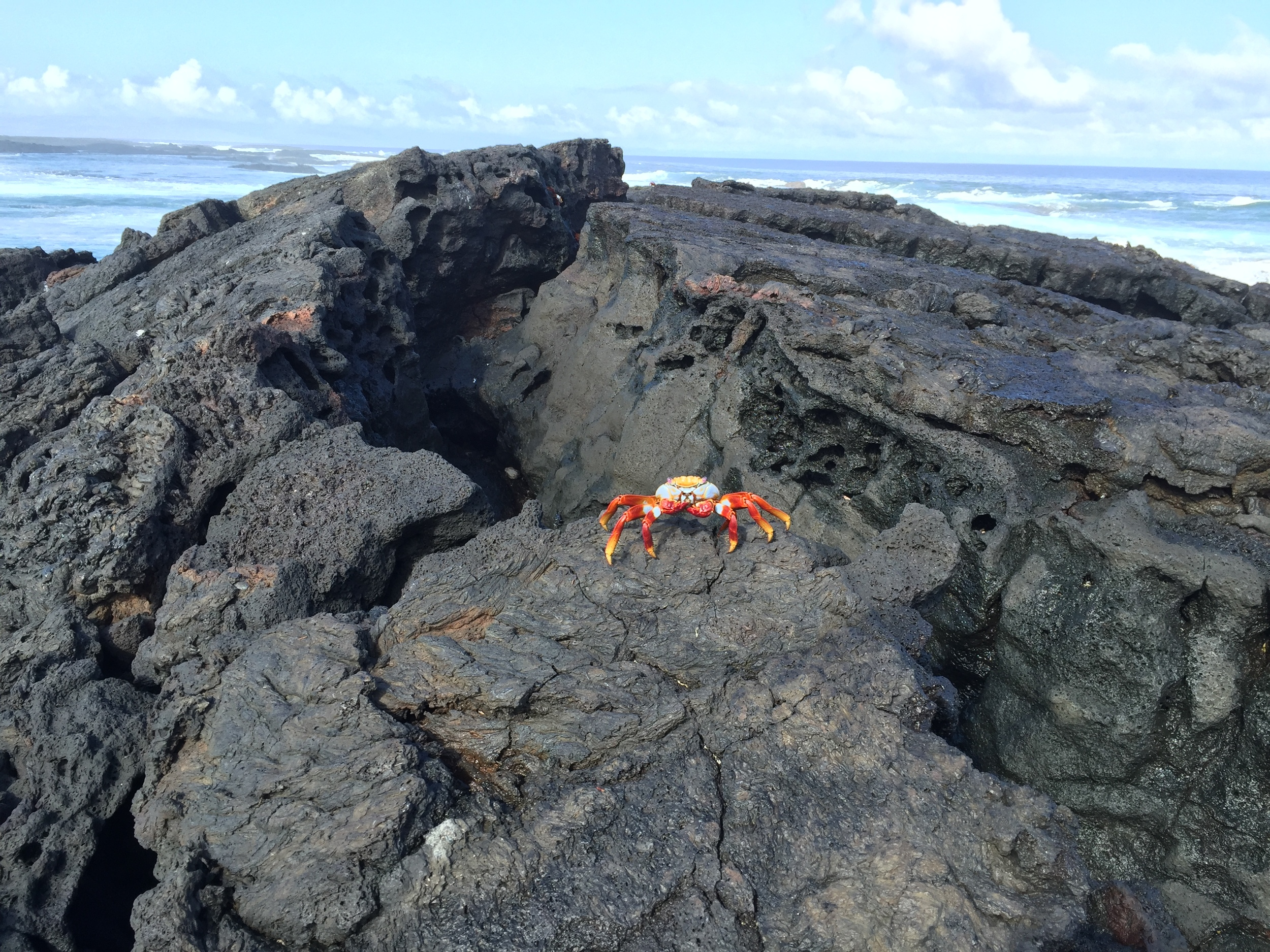 A colorful Sally Lightfoot crab perches on a black volcanic rock on the beach at Isla Santiago.