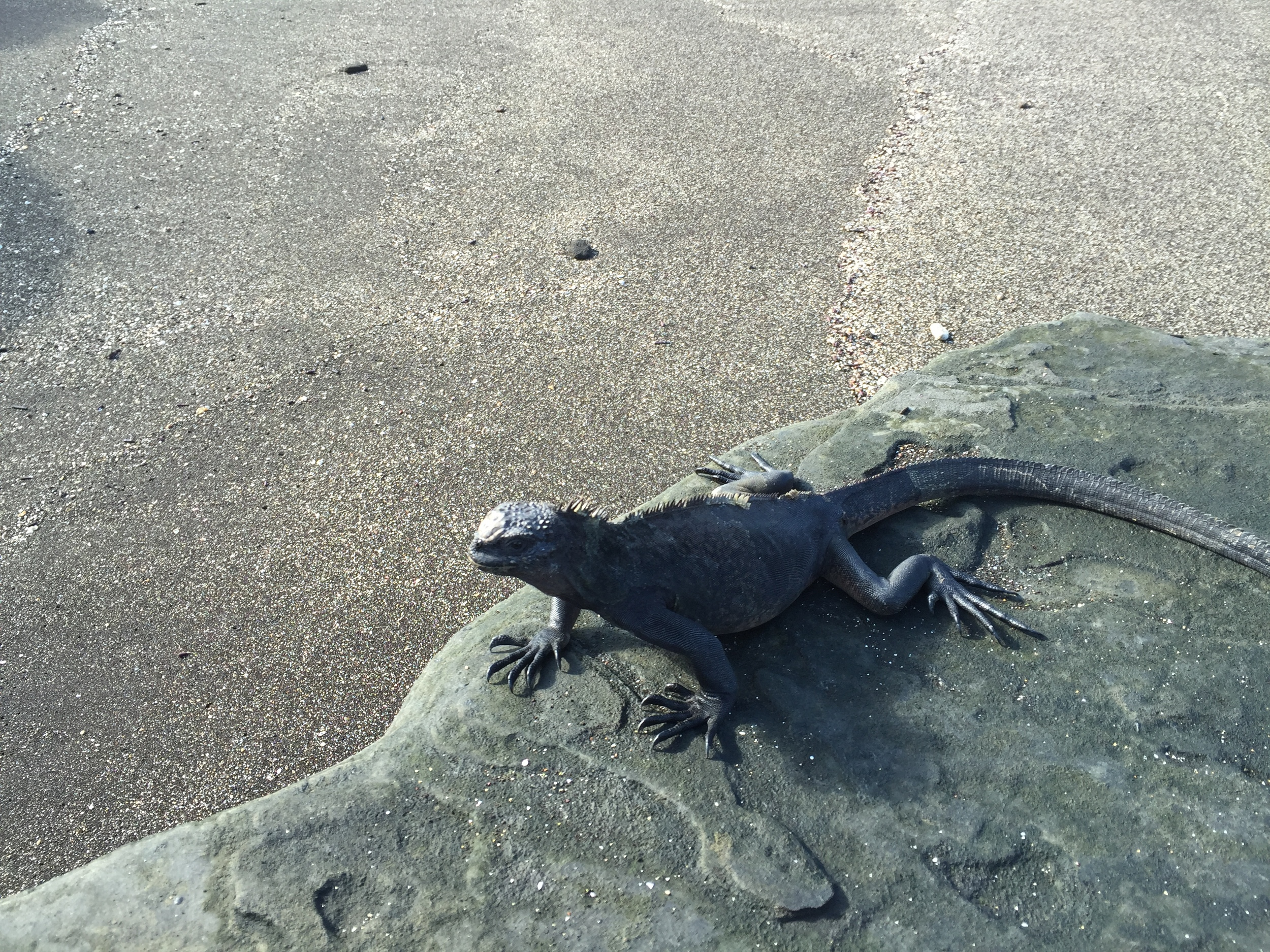 Just one of thousands of marine iguanas basking in the morning sun on the beach at isla Fernandina.
