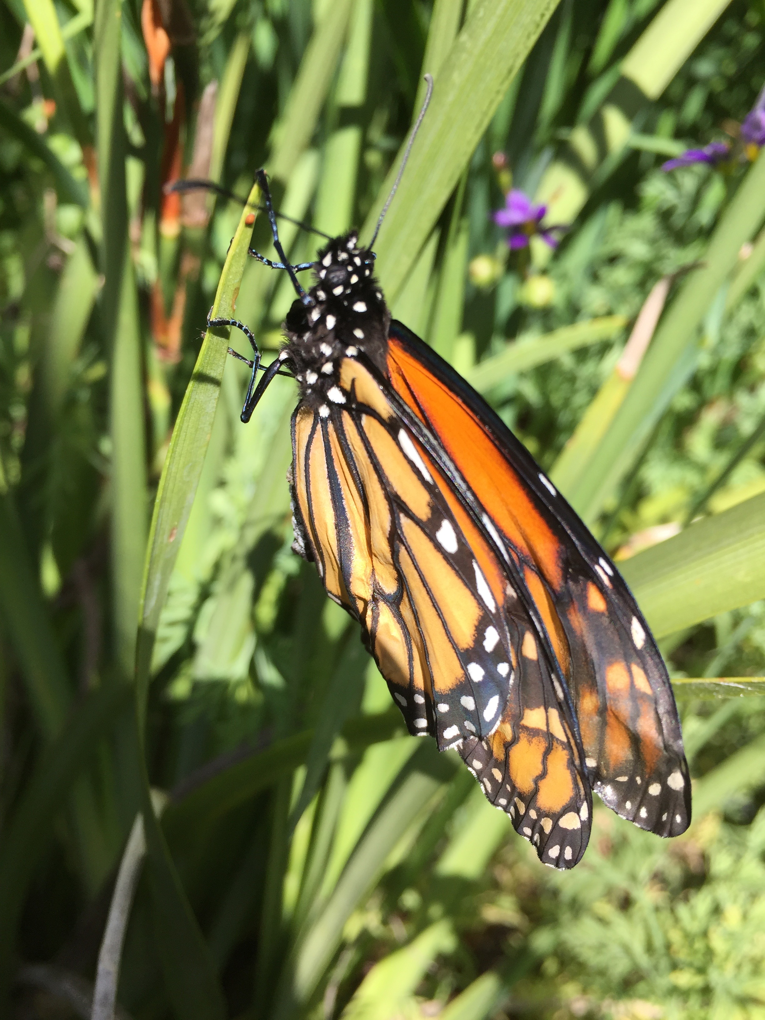 This monarch butterfly emerged from its chrysalis attached to a plant in my backyard, but it had a deformed wing and was never able to fly.