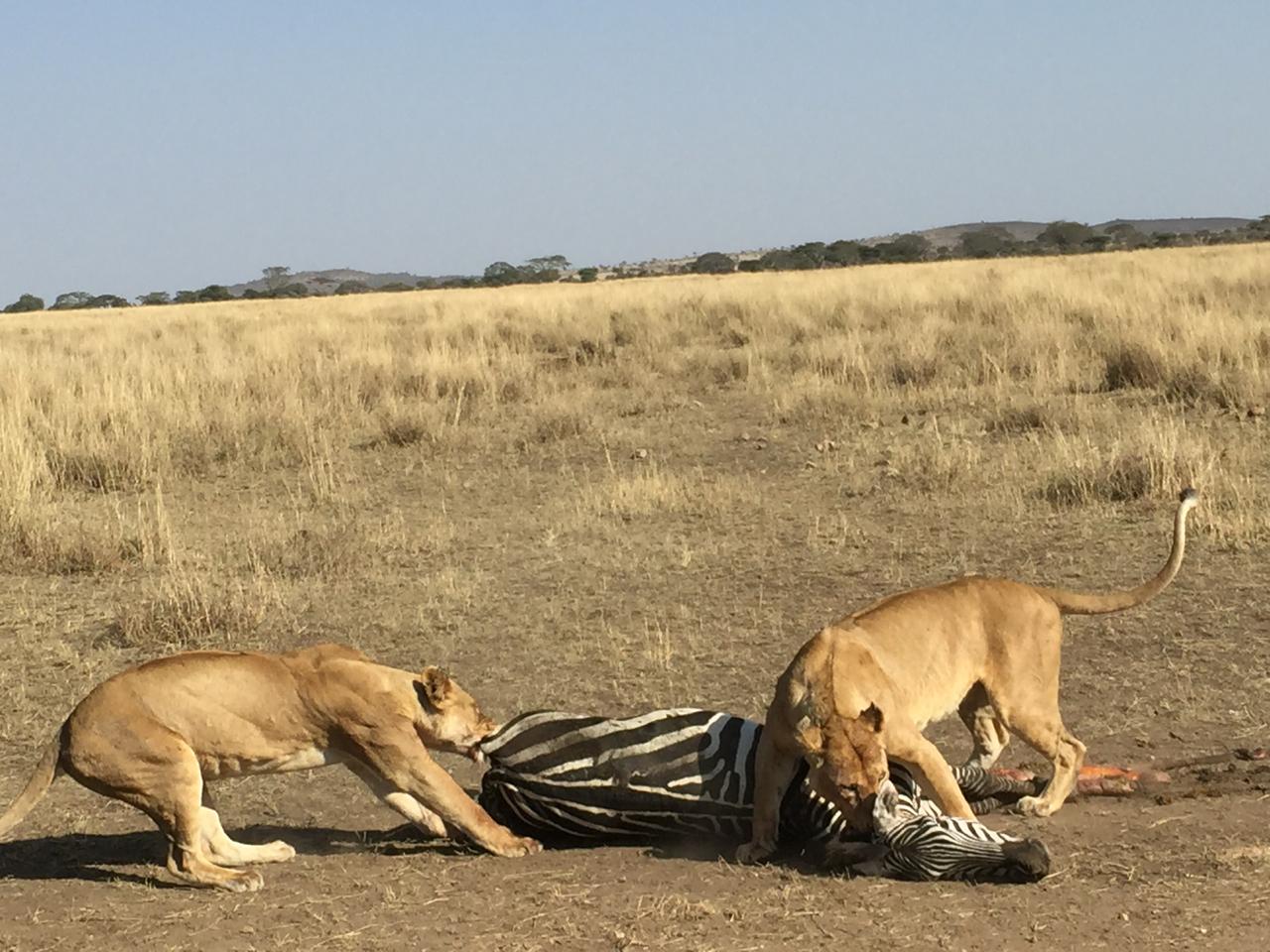 lion-kill.jpg