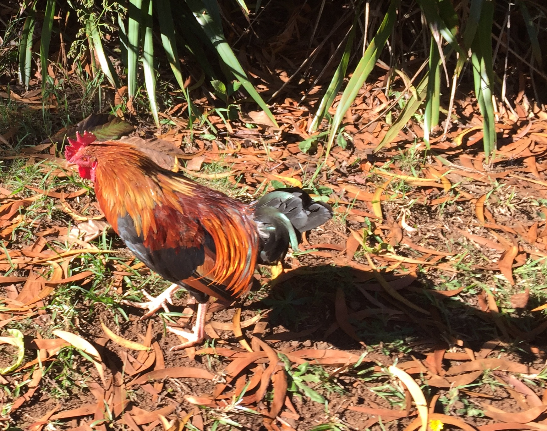 The chicken is the unofficial bird of Kauai. The ubiquitous chicken crows at all times of the night and roosts in the wild. But their saving grace is that they eat bugs, including those nasty centipedes.