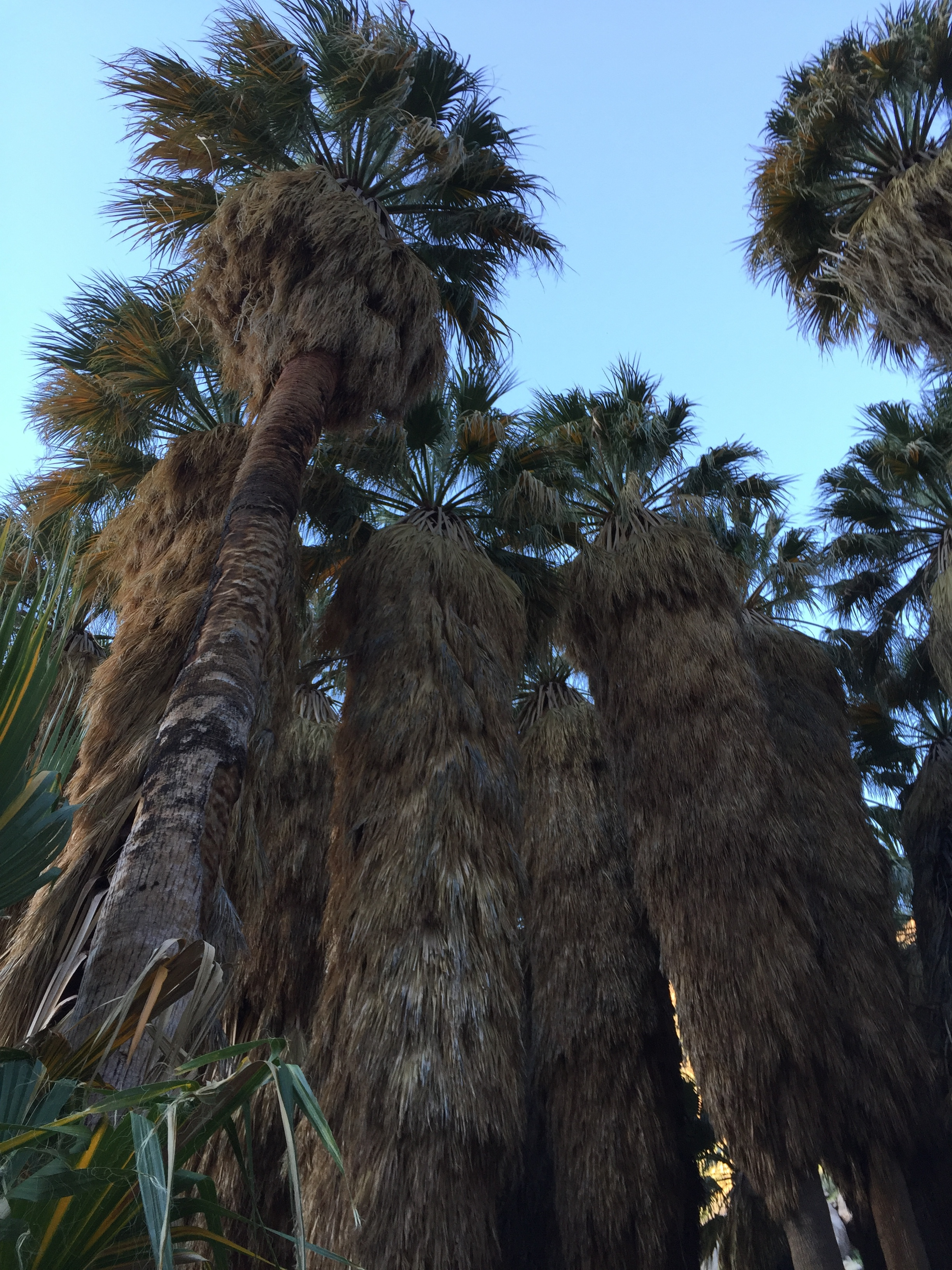 Palms surrounding oasis, Borrego Palm Canyon, Anza-Borrego Desert State Park. Photo by Betsy Herbert, 2017
