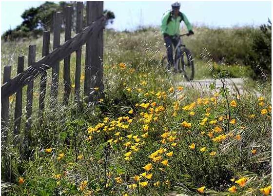 Native California poppies line a trail as a cyclist enjoys Wilder Ranch State Park. (Shmuel Thaler -- Santa Cruz Sentinel file)