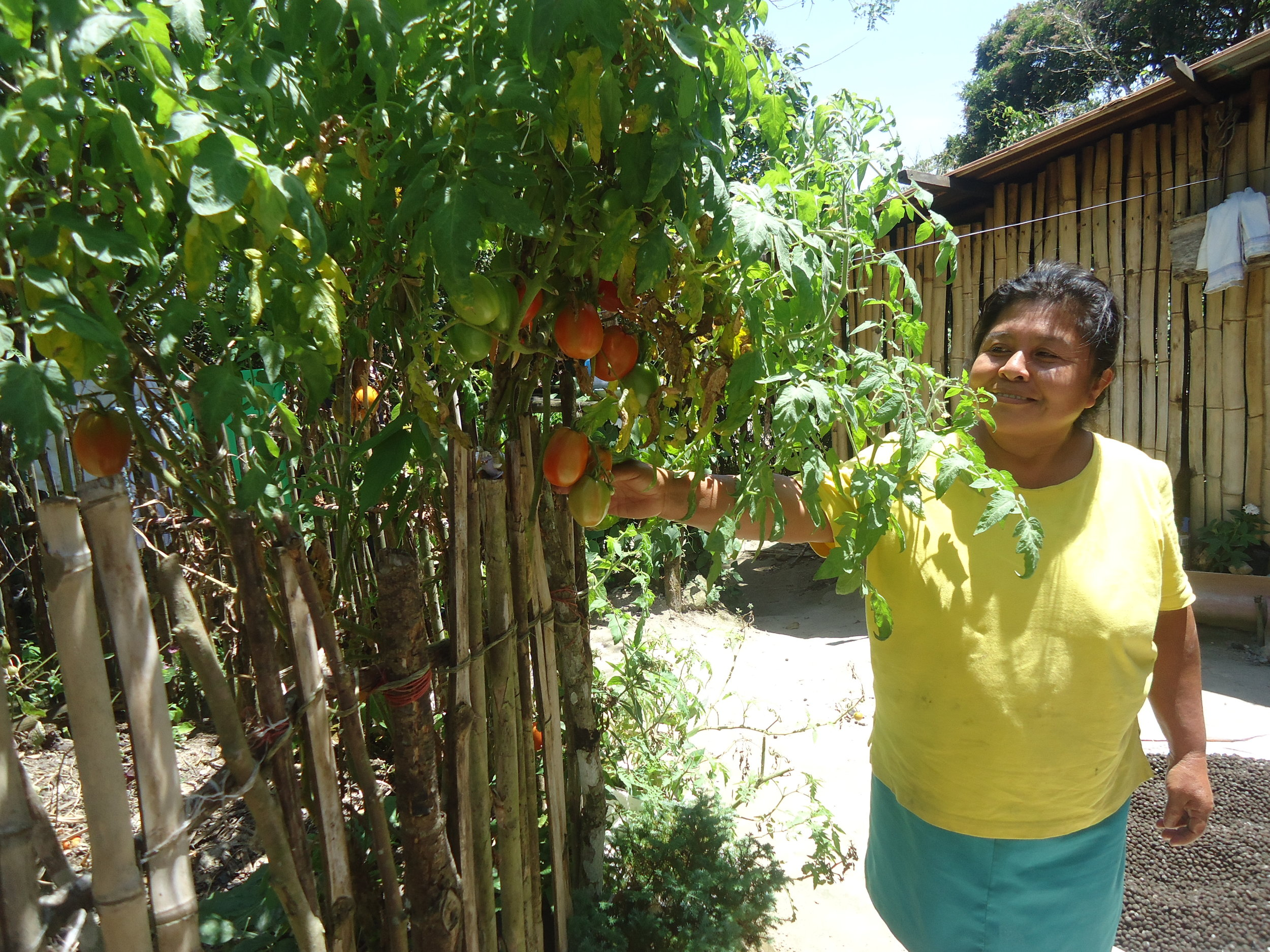 Teresa Rodríguez and her lush, organic tomato plants