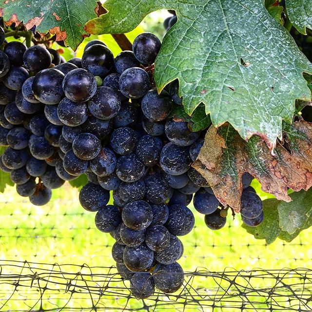 Our Cabernet Franc is shaping up quite nicely! Harvest is here!!