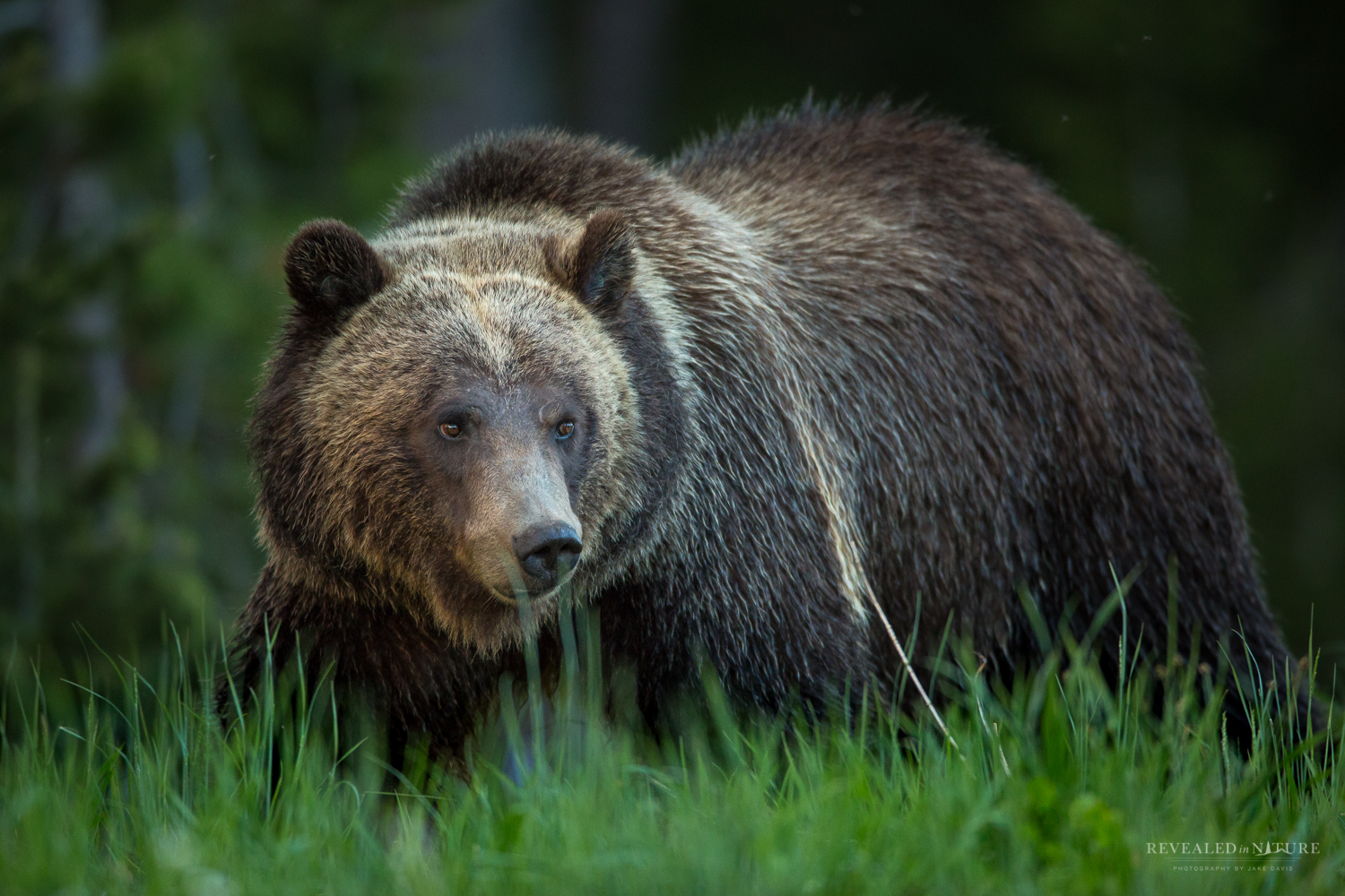Photograph Grizzly in Yellowstone