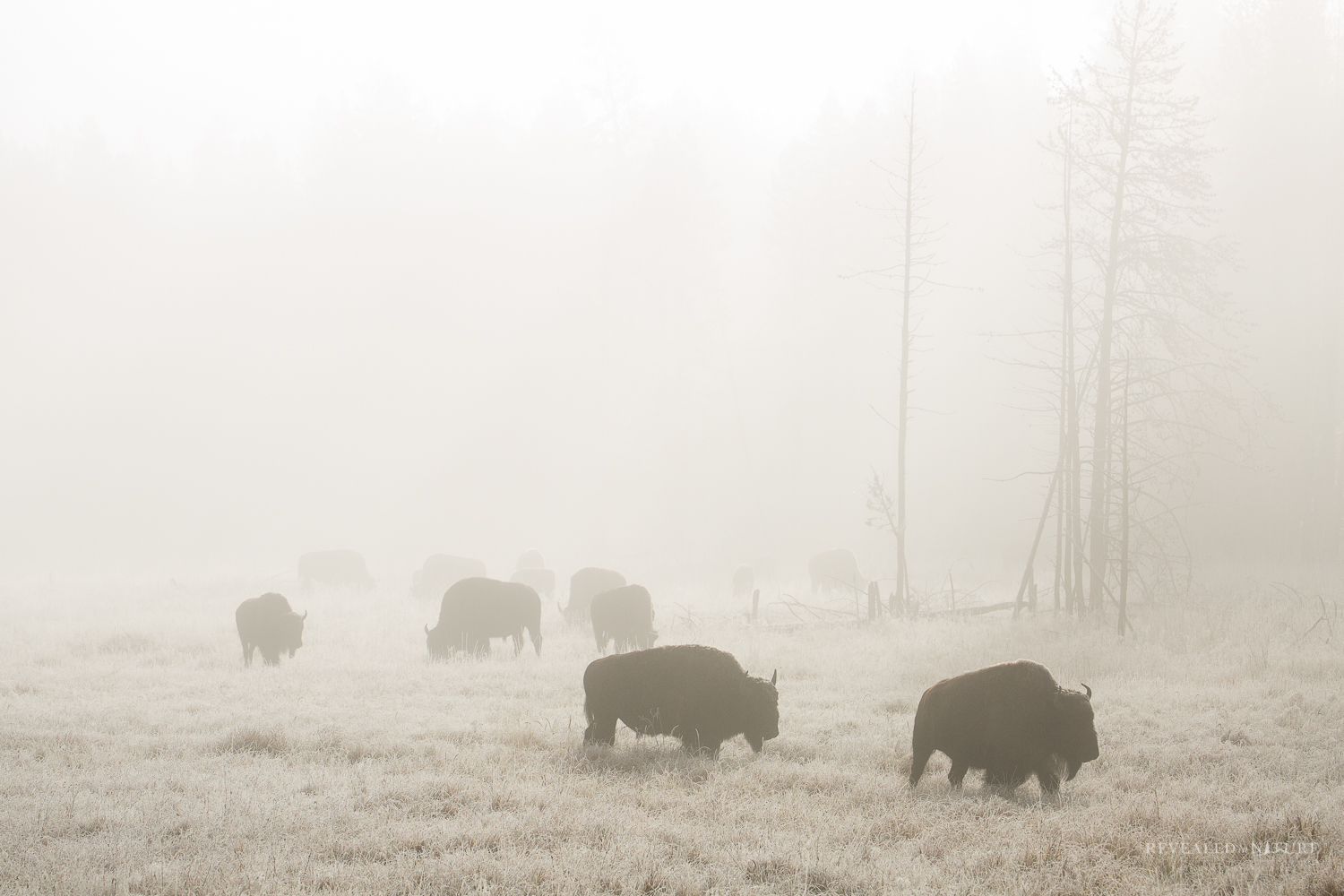 Yellowstone Bison Picture