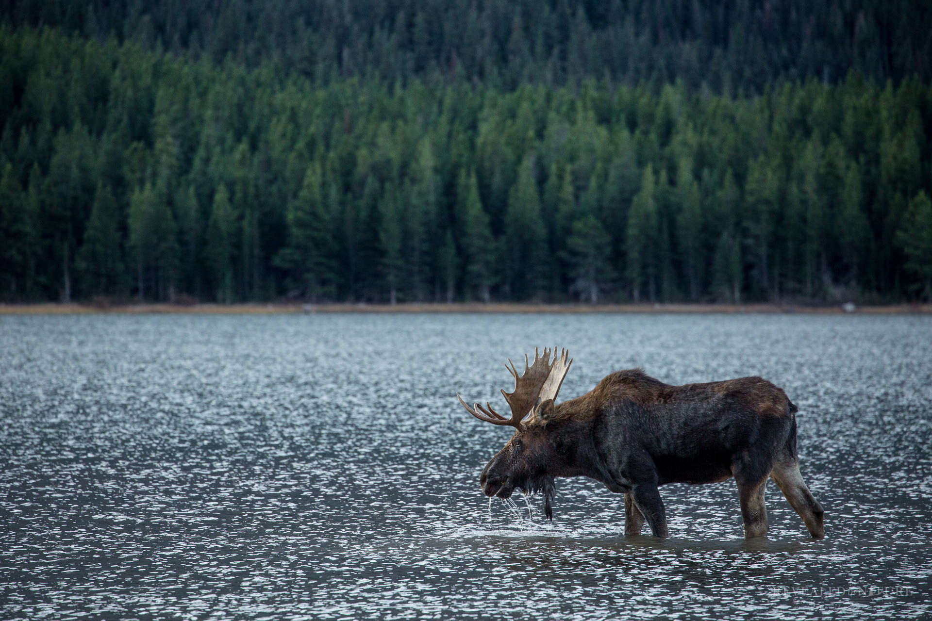 Bull Moose Photograph